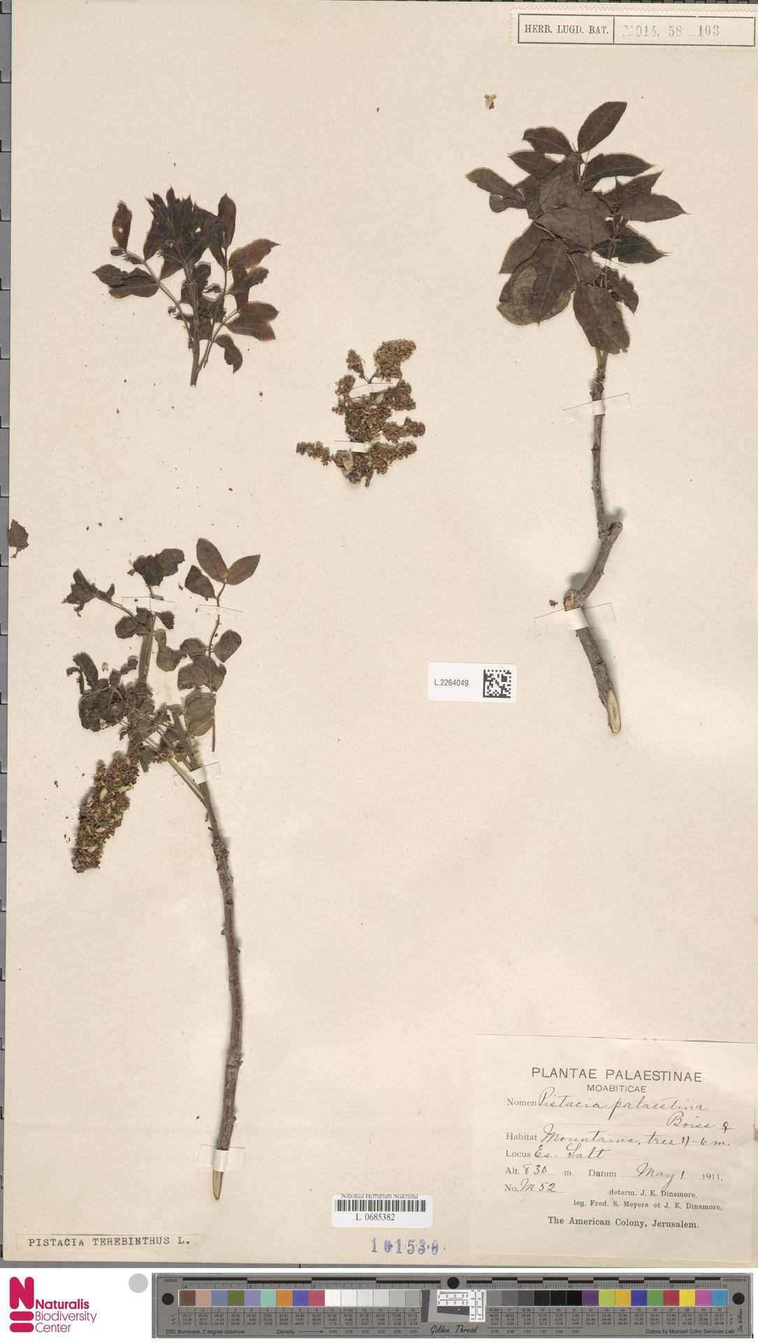 L.2264049 | Pistacia terebinthus L.