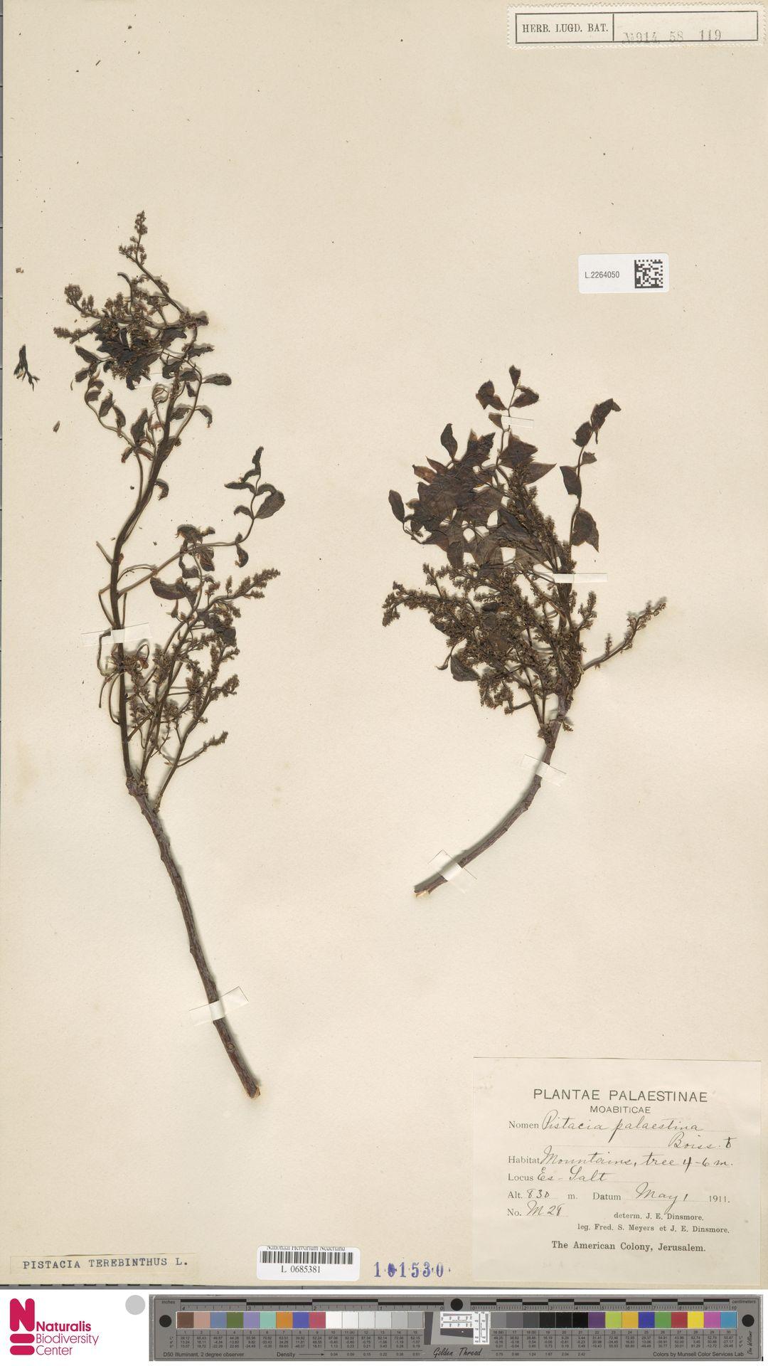 L.2264050 | Pistacia terebinthus L.