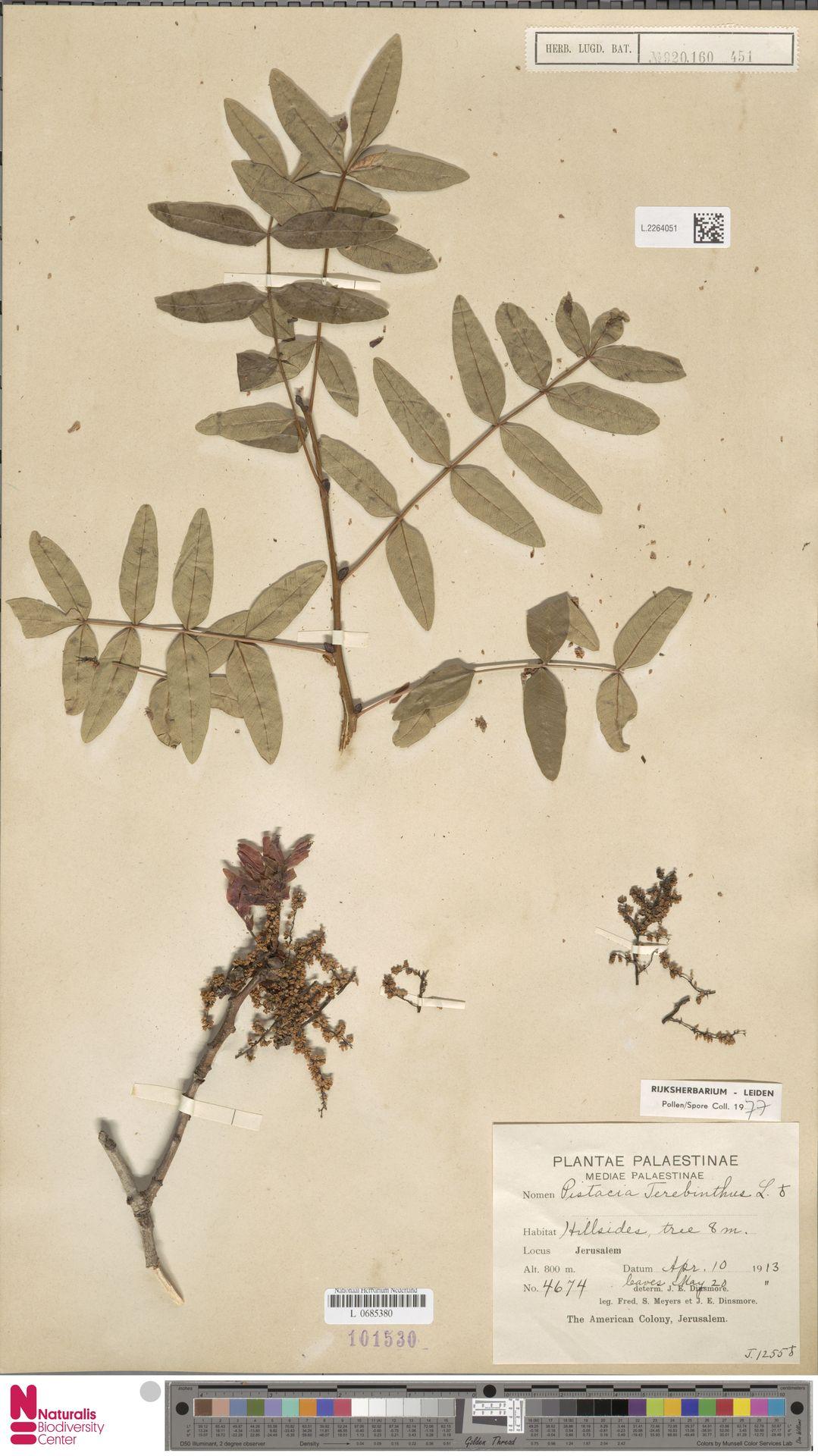 L.2264051 | Pistacia terebinthus L.