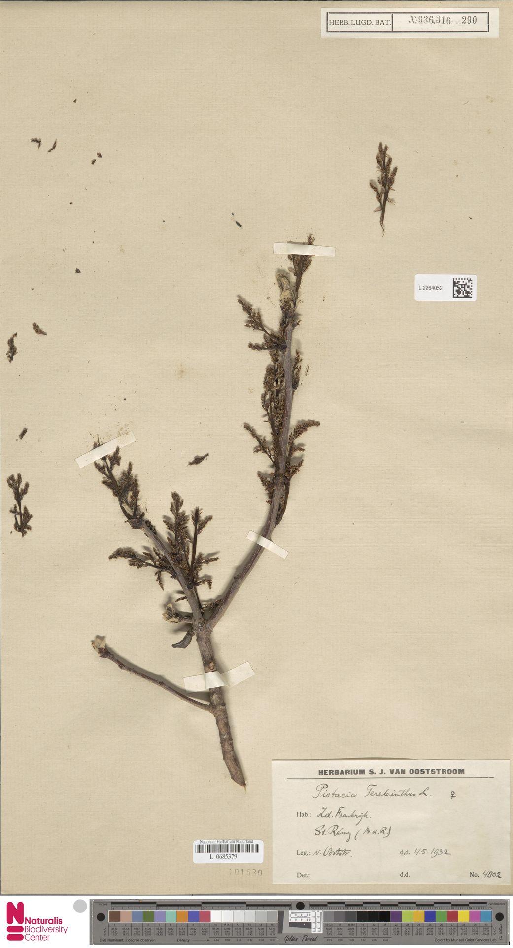 L.2264052 | Pistacia terebinthus L.