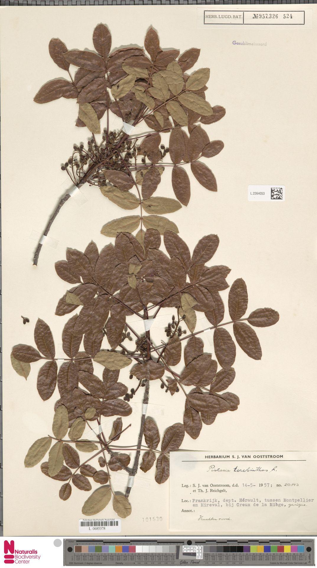 L.2264053 | Pistacia terebinthus L.