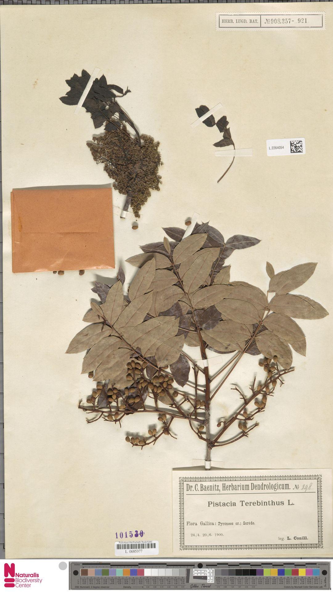 L.2264054 | Pistacia terebinthus L.