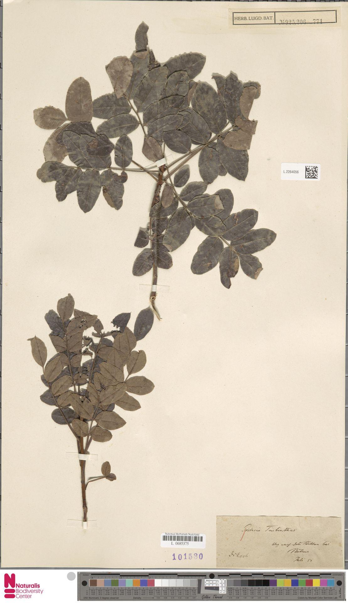 L.2264056 | Pistacia terebinthus L.