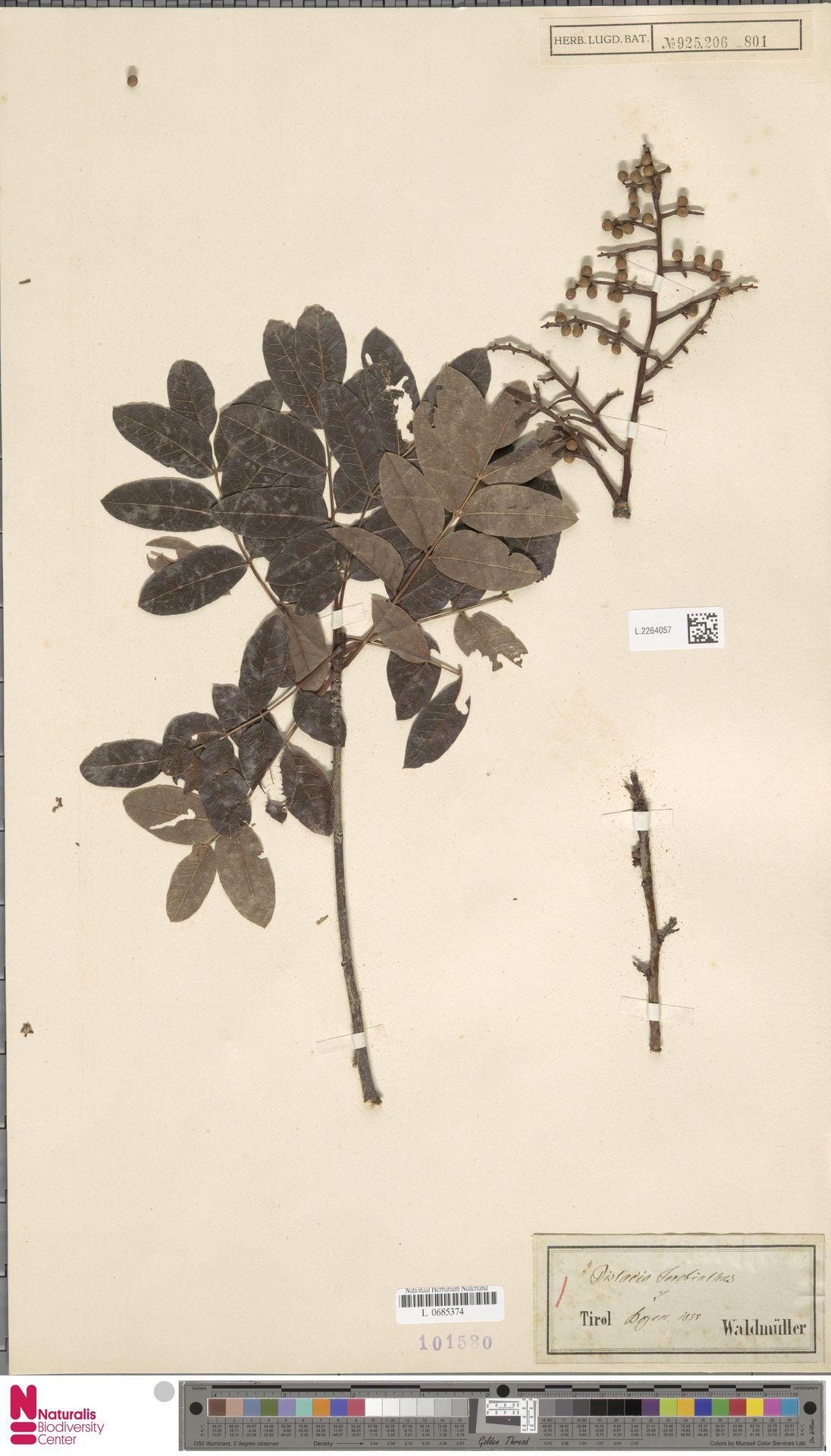 L.2264057 | Pistacia terebinthus L.