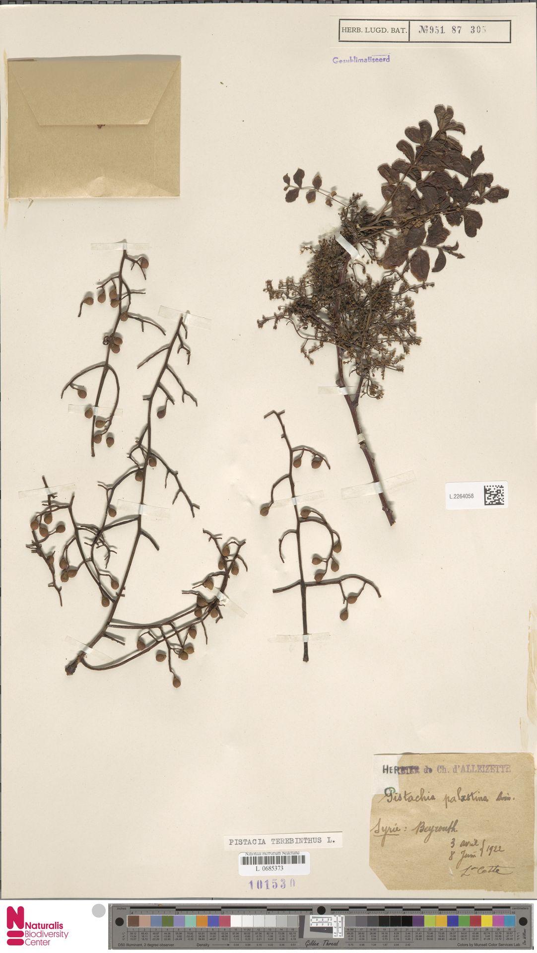 L.2264058 | Pistacia terebinthus L.