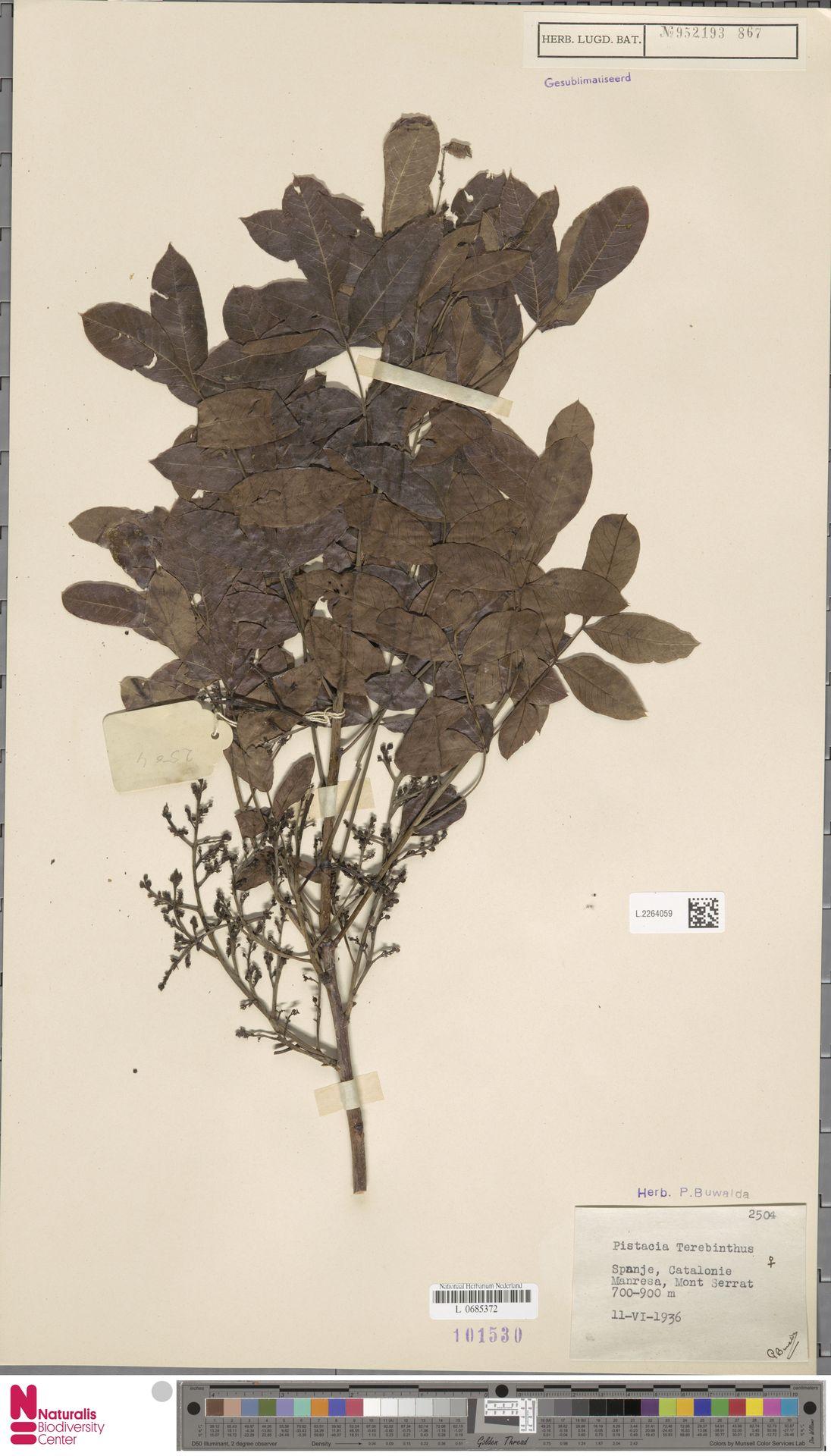 L.2264059 | Pistacia terebinthus L.