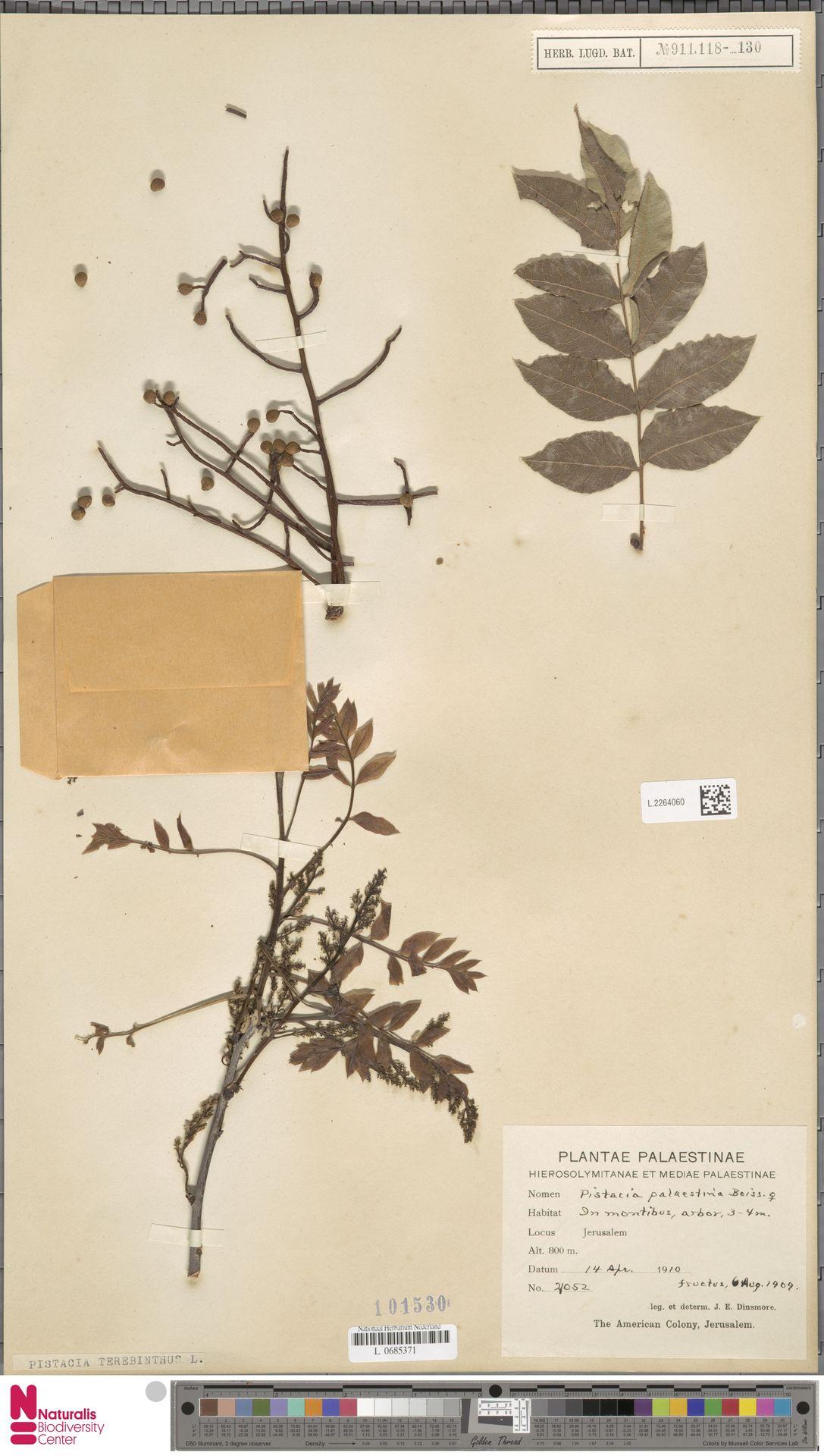 L.2264060 | Pistacia terebinthus L.