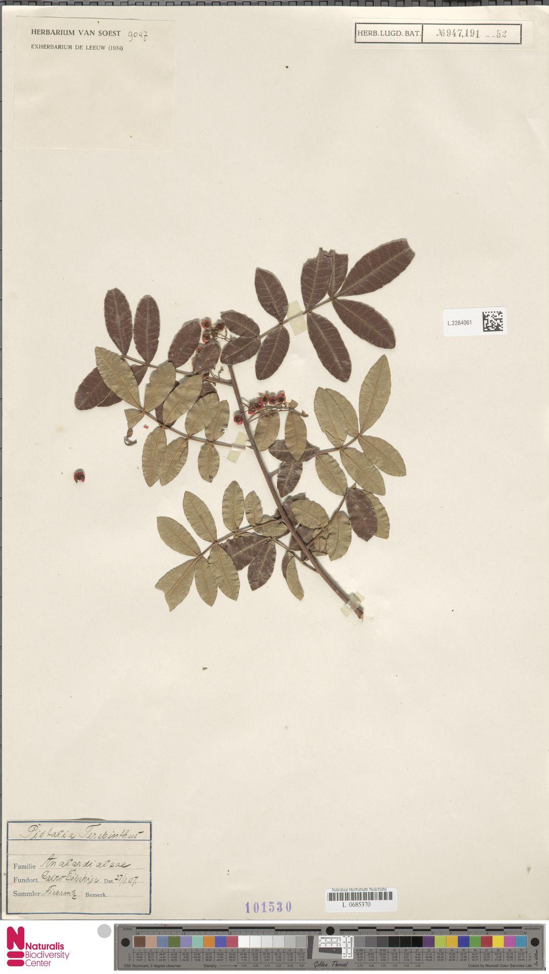 L.2264061 | Pistacia terebinthus L.