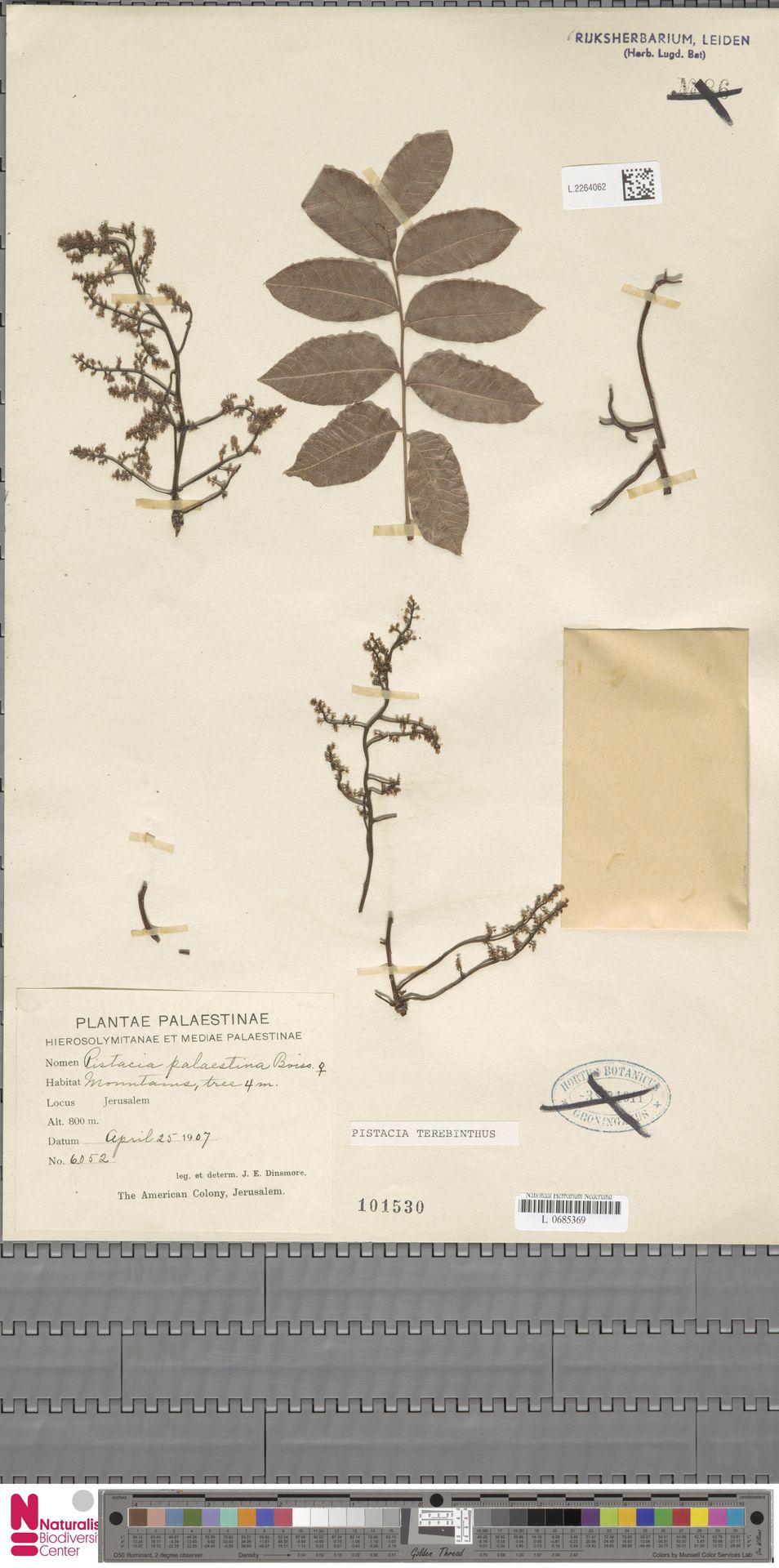 L.2264062 | Pistacia terebinthus L.