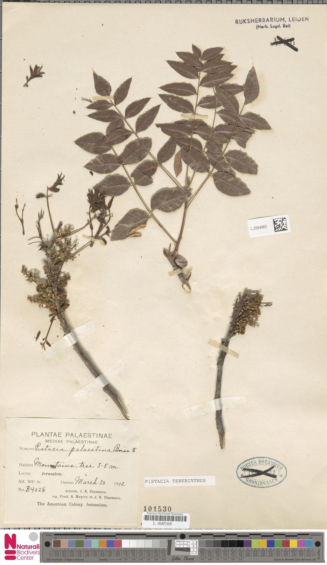 L.2264063 | Pistacia terebinthus L.