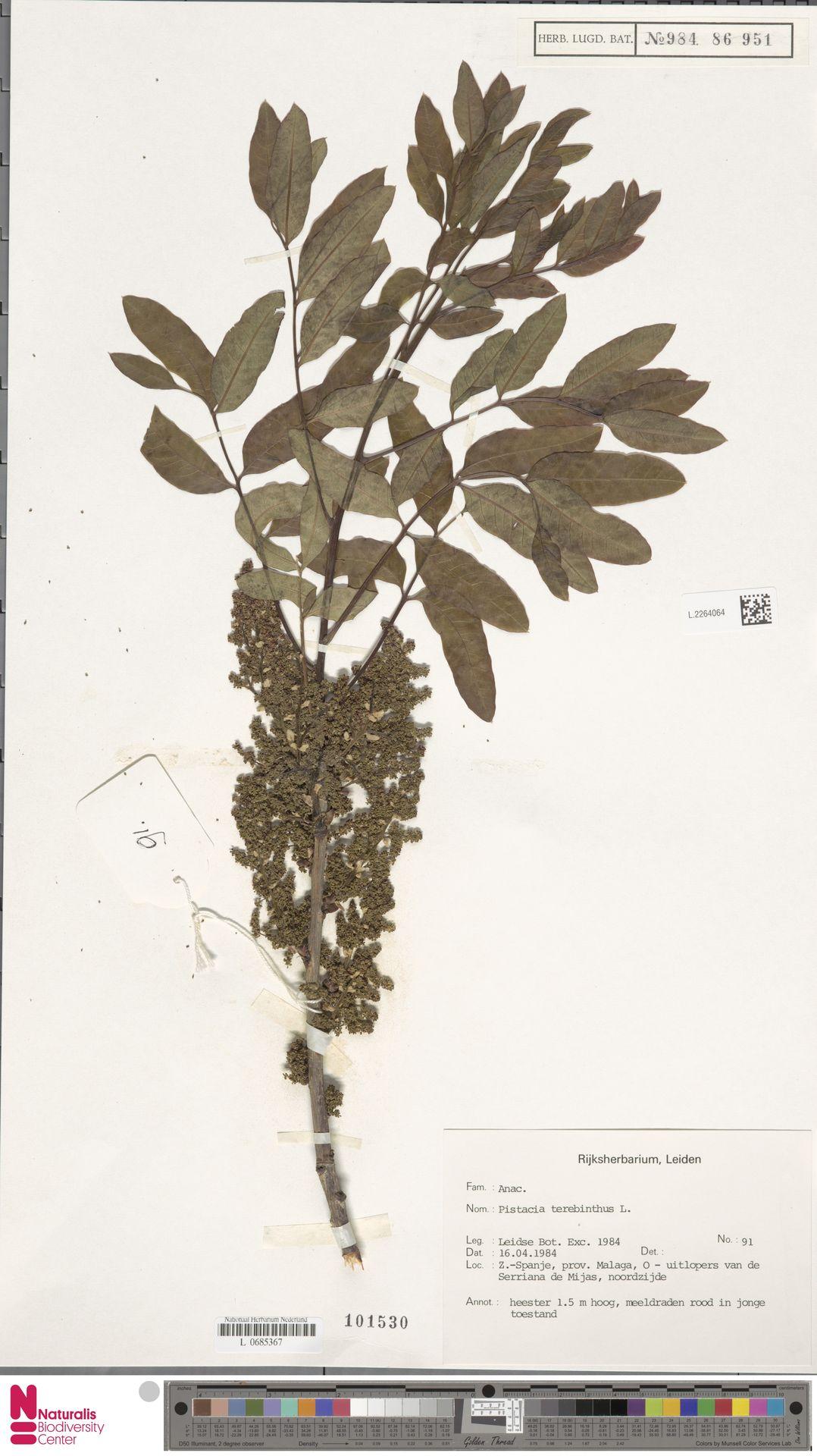 L.2264064 | Pistacia terebinthus L.