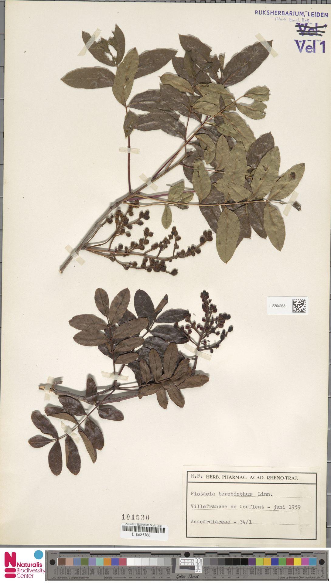 L.2264065 | Pistacia terebinthus L.