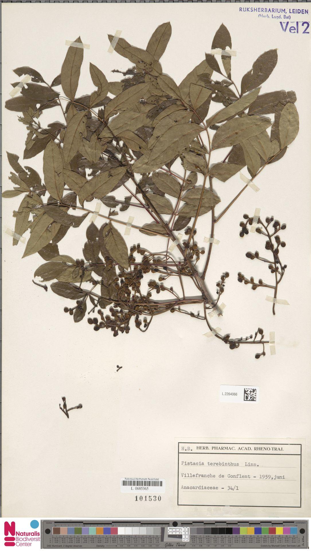 L.2264066 | Pistacia terebinthus L.