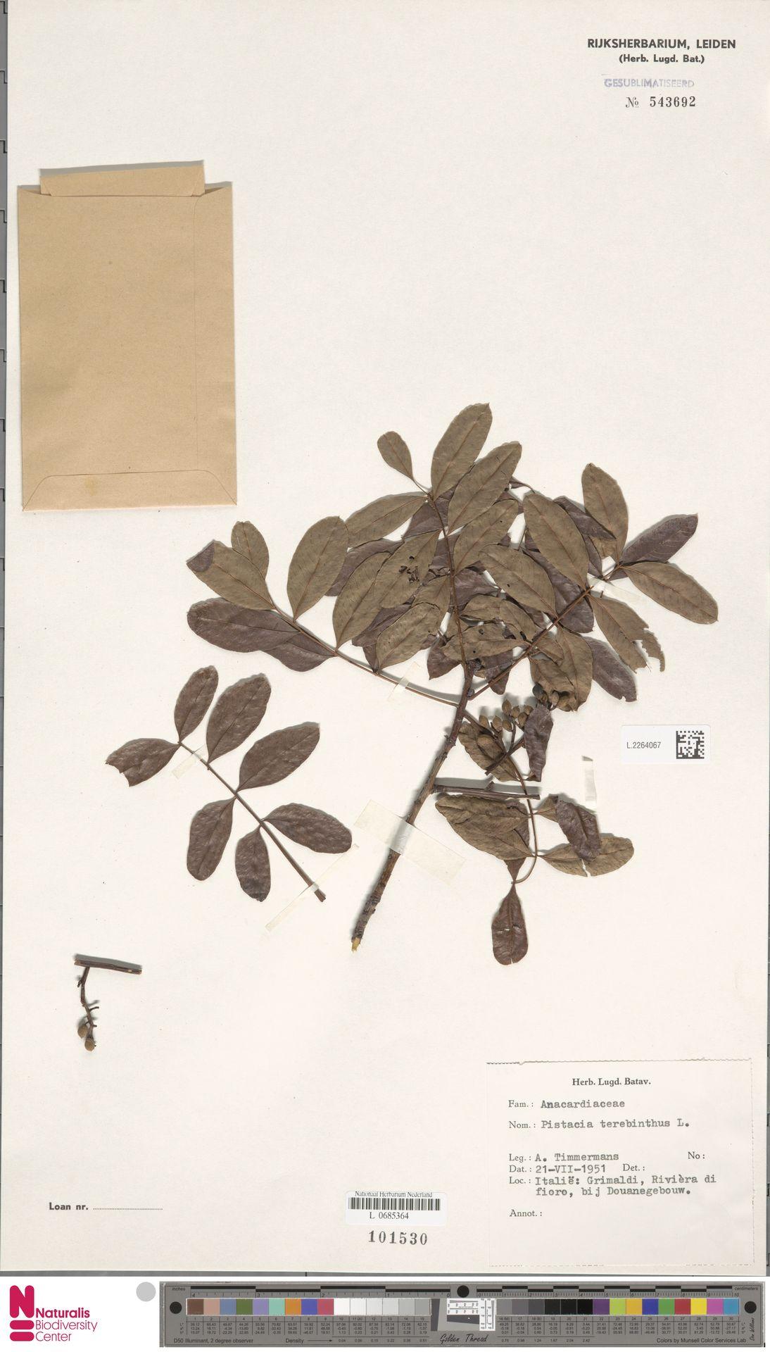 L.2264067 | Pistacia terebinthus L.