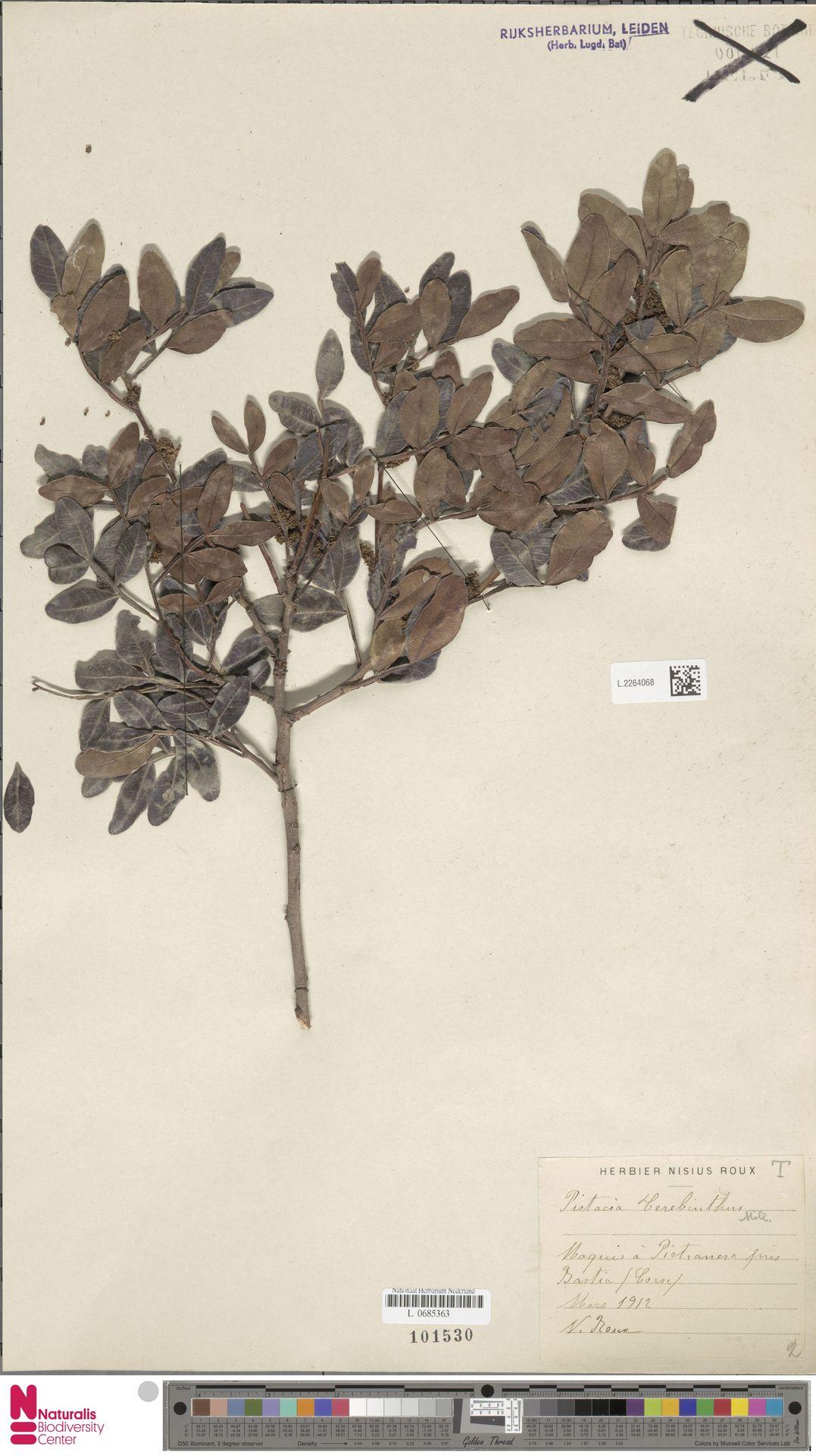 L.2264068 | Pistacia terebinthus L.