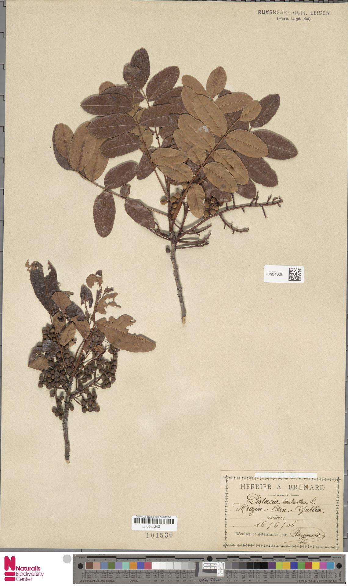 L.2264069 | Pistacia terebinthus L.