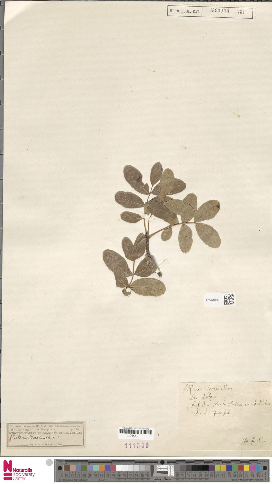 L.2264070   Pistacia terebinthus L.
