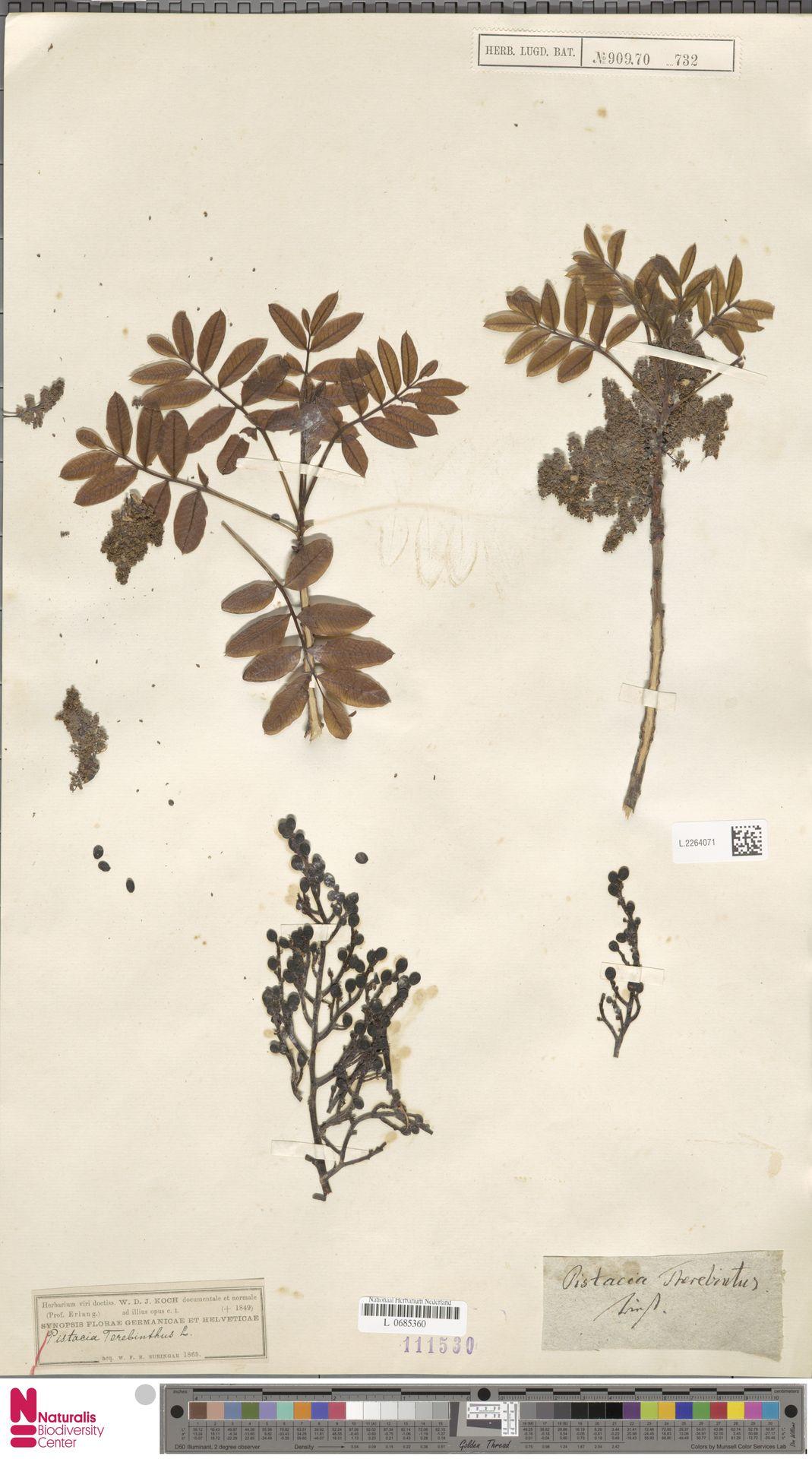 L.2264071 | Pistacia terebinthus L.
