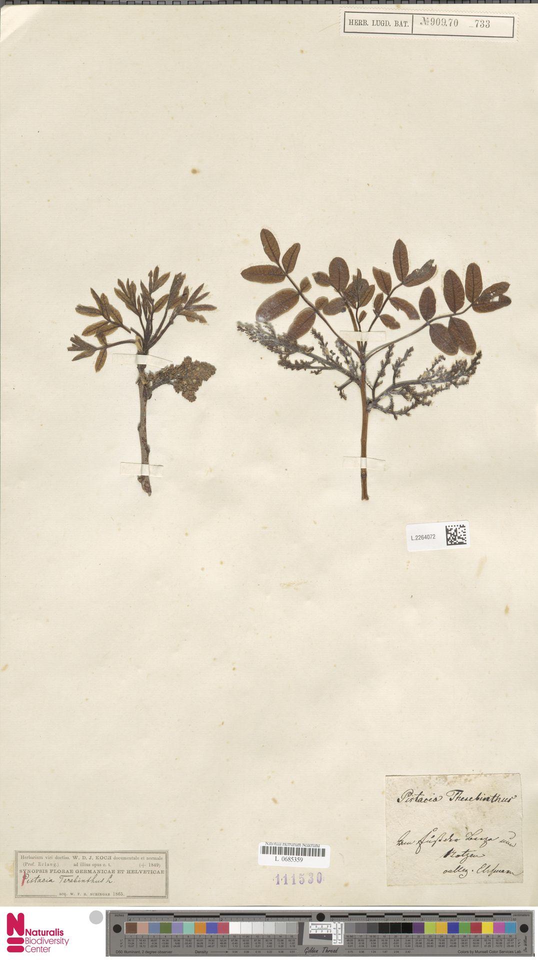 L.2264072 | Pistacia terebinthus L.