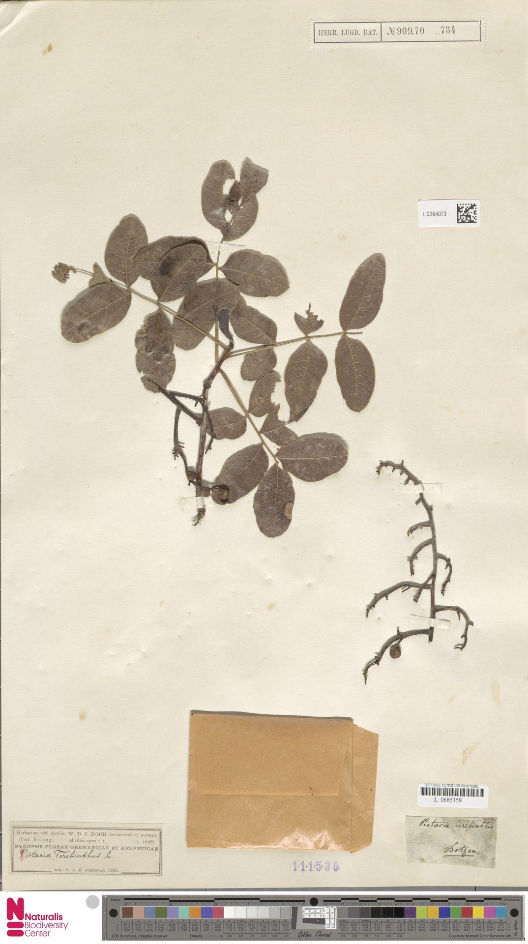 L.2264073 | Pistacia terebinthus L.