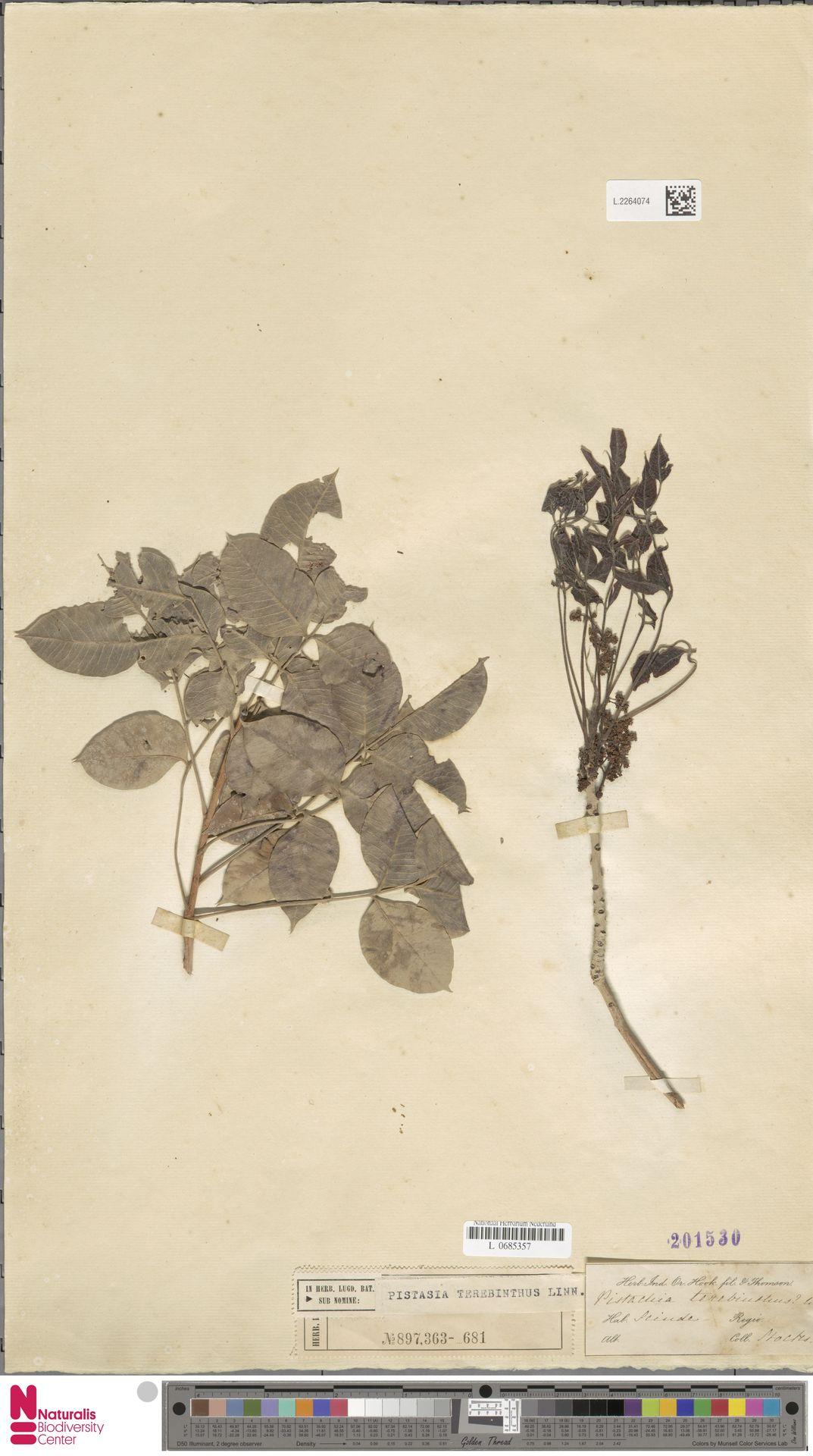L.2264074 | Pistacia terebinthus L.
