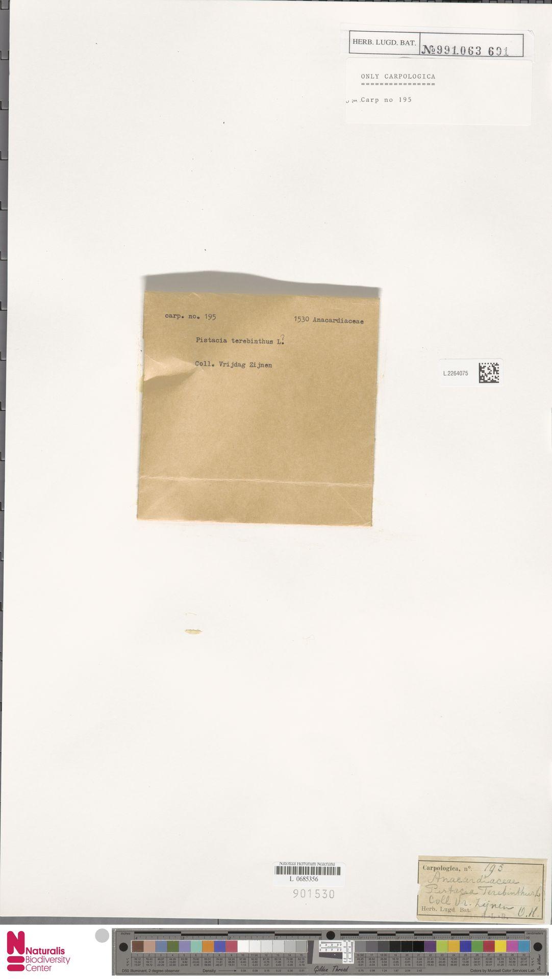 L.2264075 | Pistacia terebinthus L.