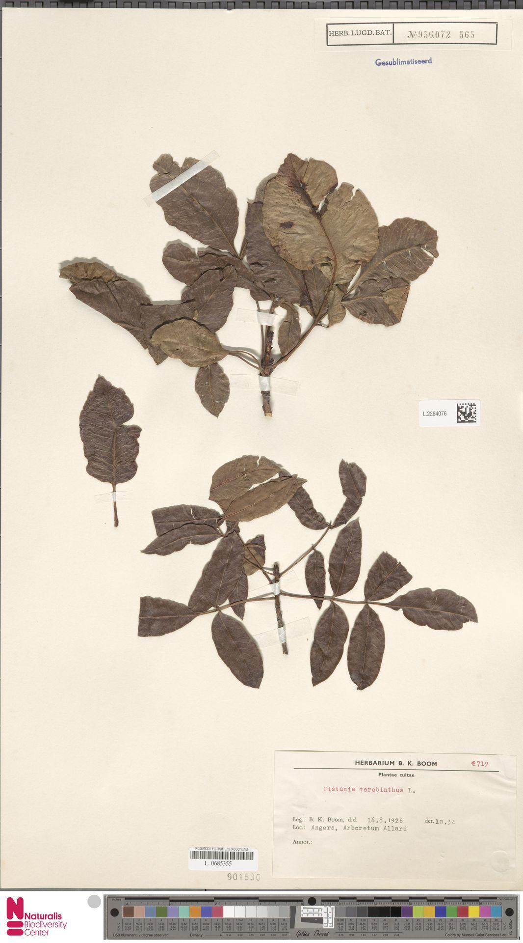 L.2264076   Pistacia terebinthus L.