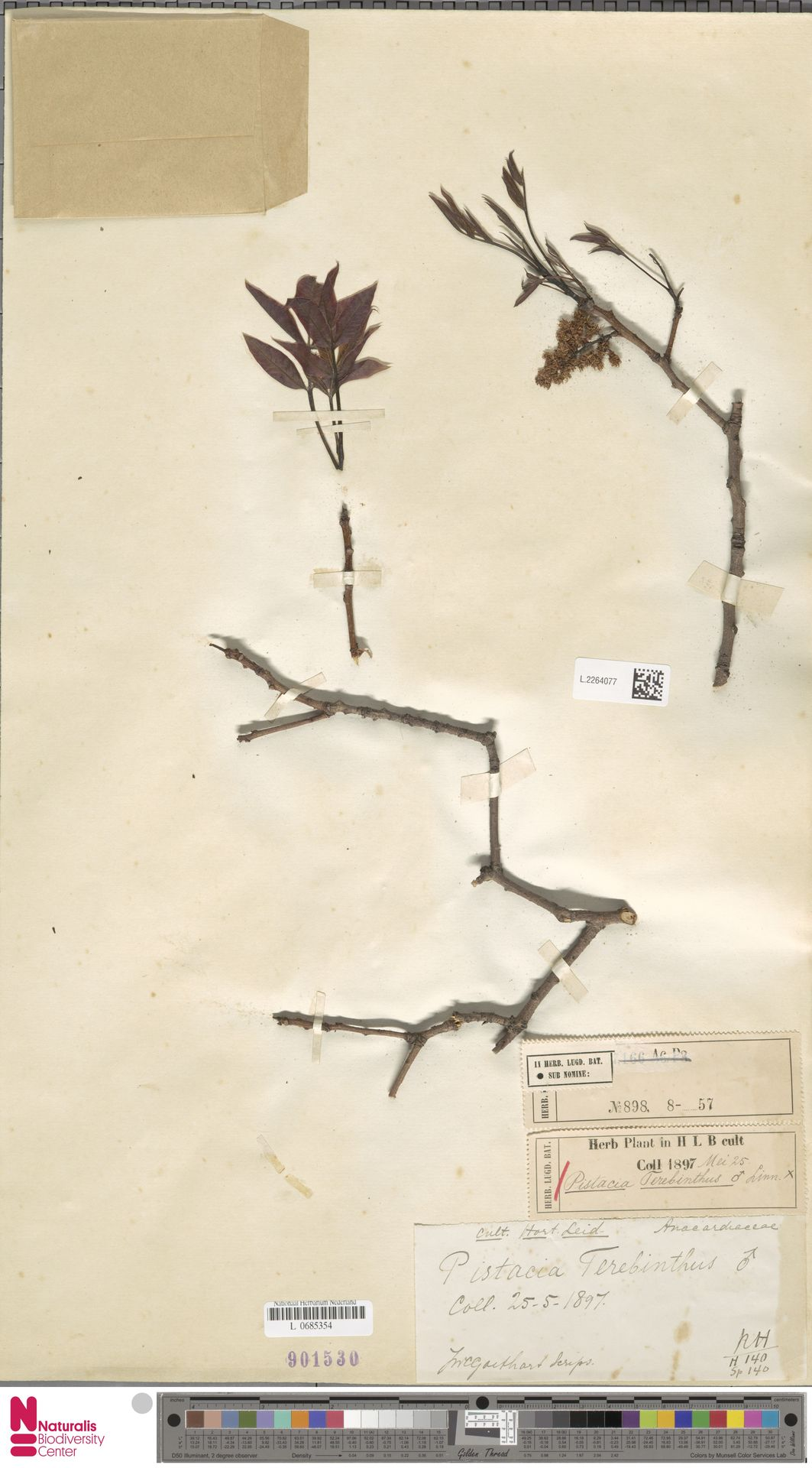 L.2264077   Pistacia terebinthus L.