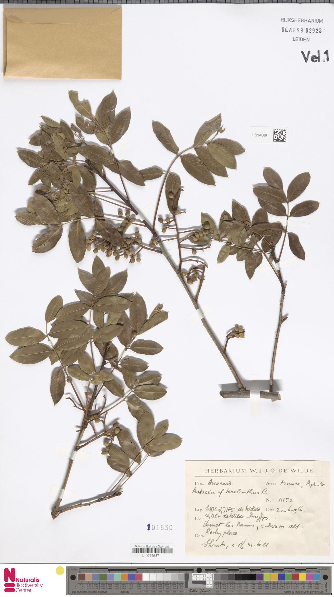 L.2264080 | Pistacia terebinthus L.