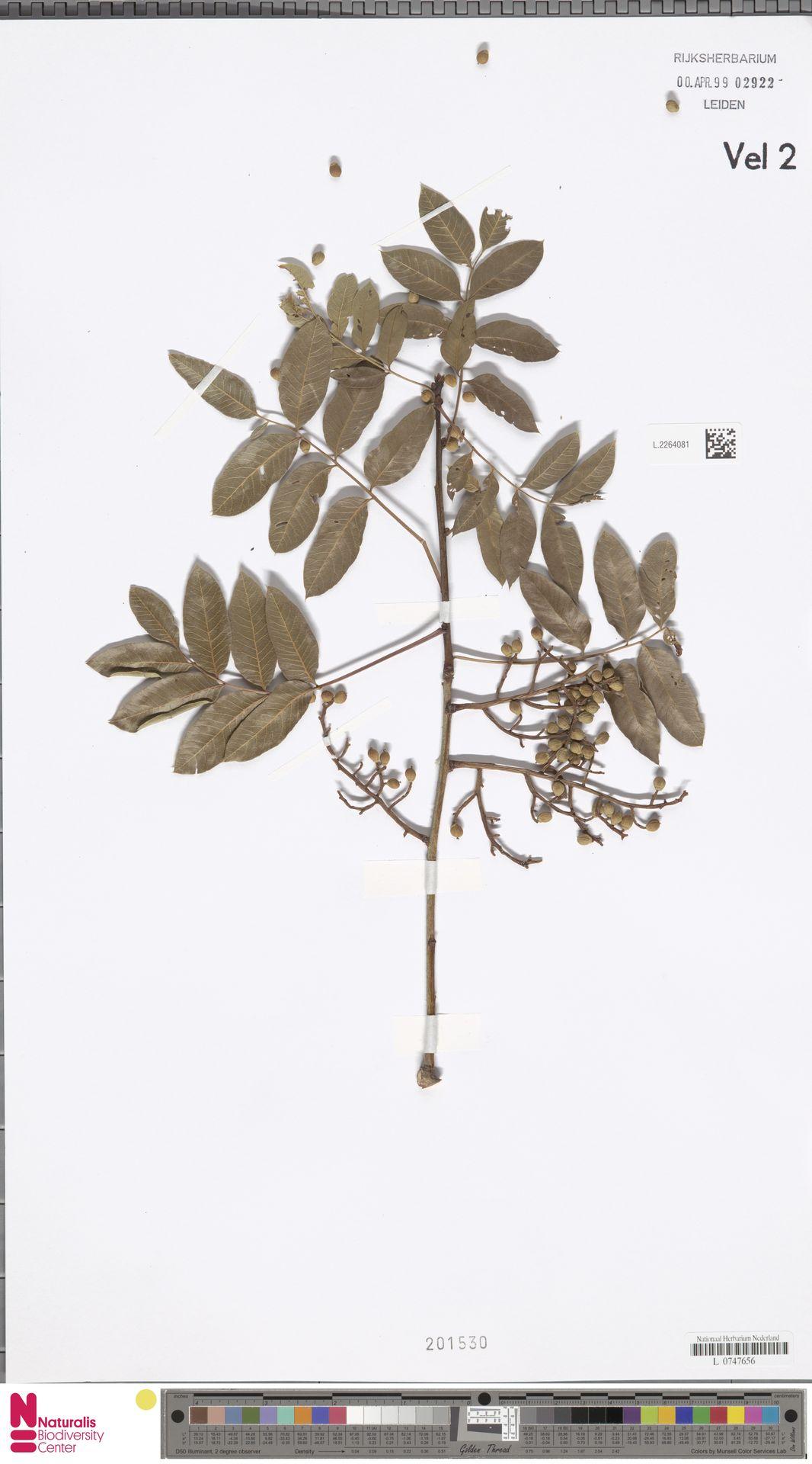L.2264081 | Pistacia terebinthus L.