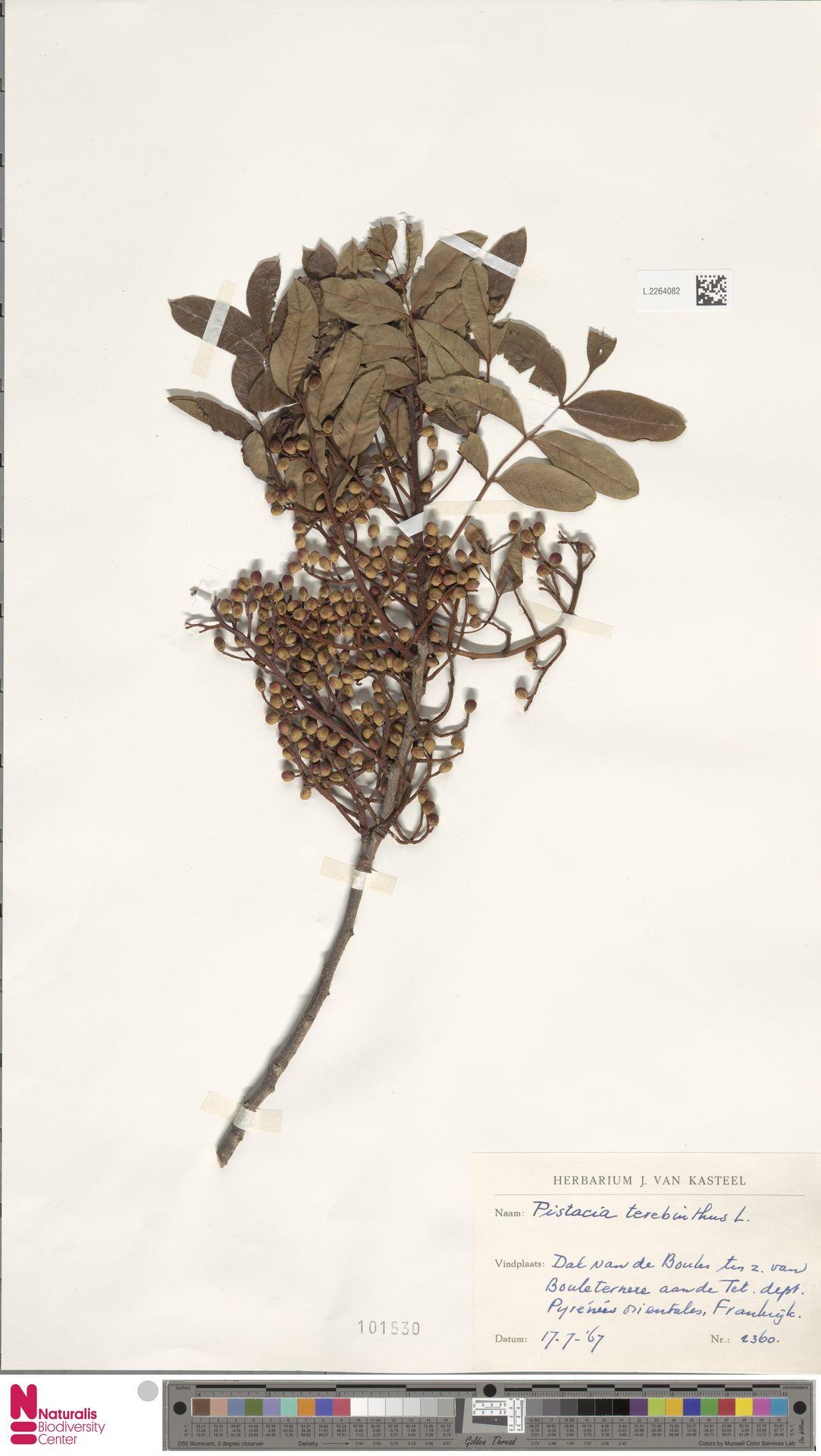 L.2264082 | Pistacia terebinthus L.