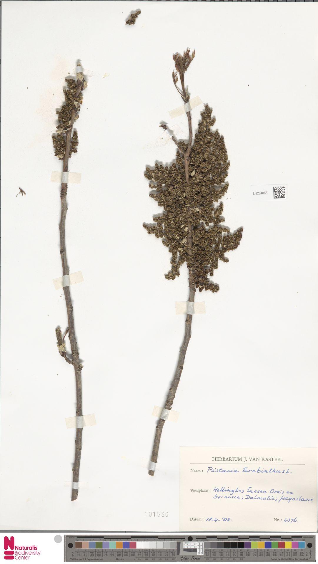 L.2264083 | Pistacia terebinthus L.