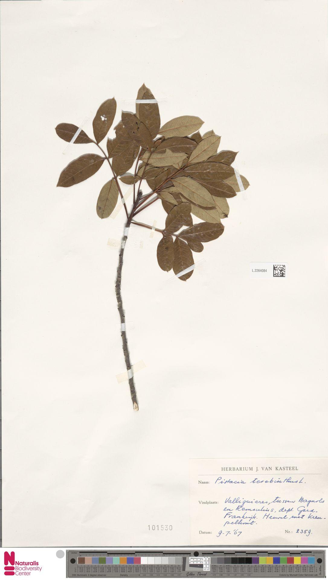 L.2264084 | Pistacia terebinthus L.