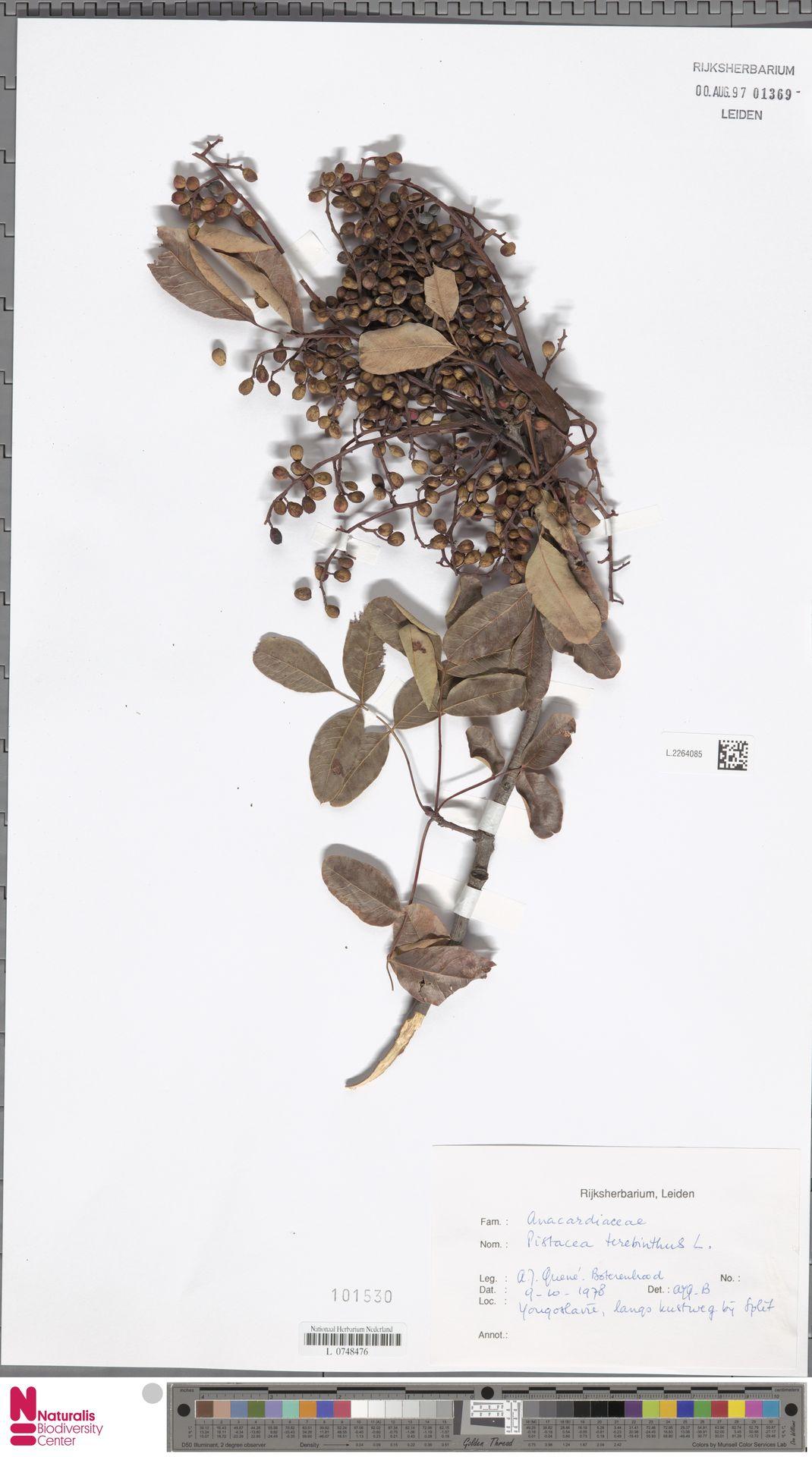 L.2264085 | Pistacia terebinthus L.