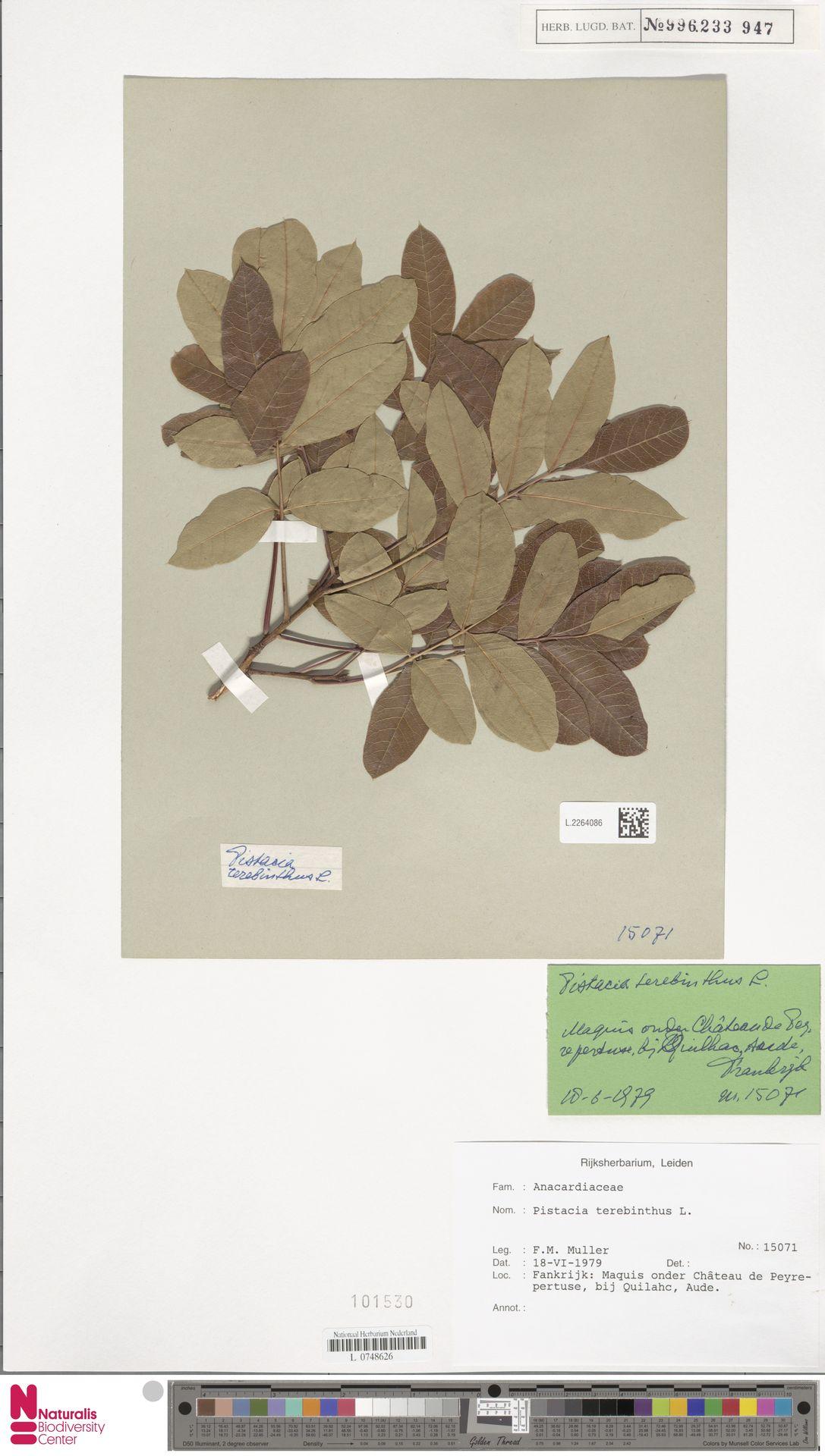 L.2264086 | Pistacia terebinthus L.