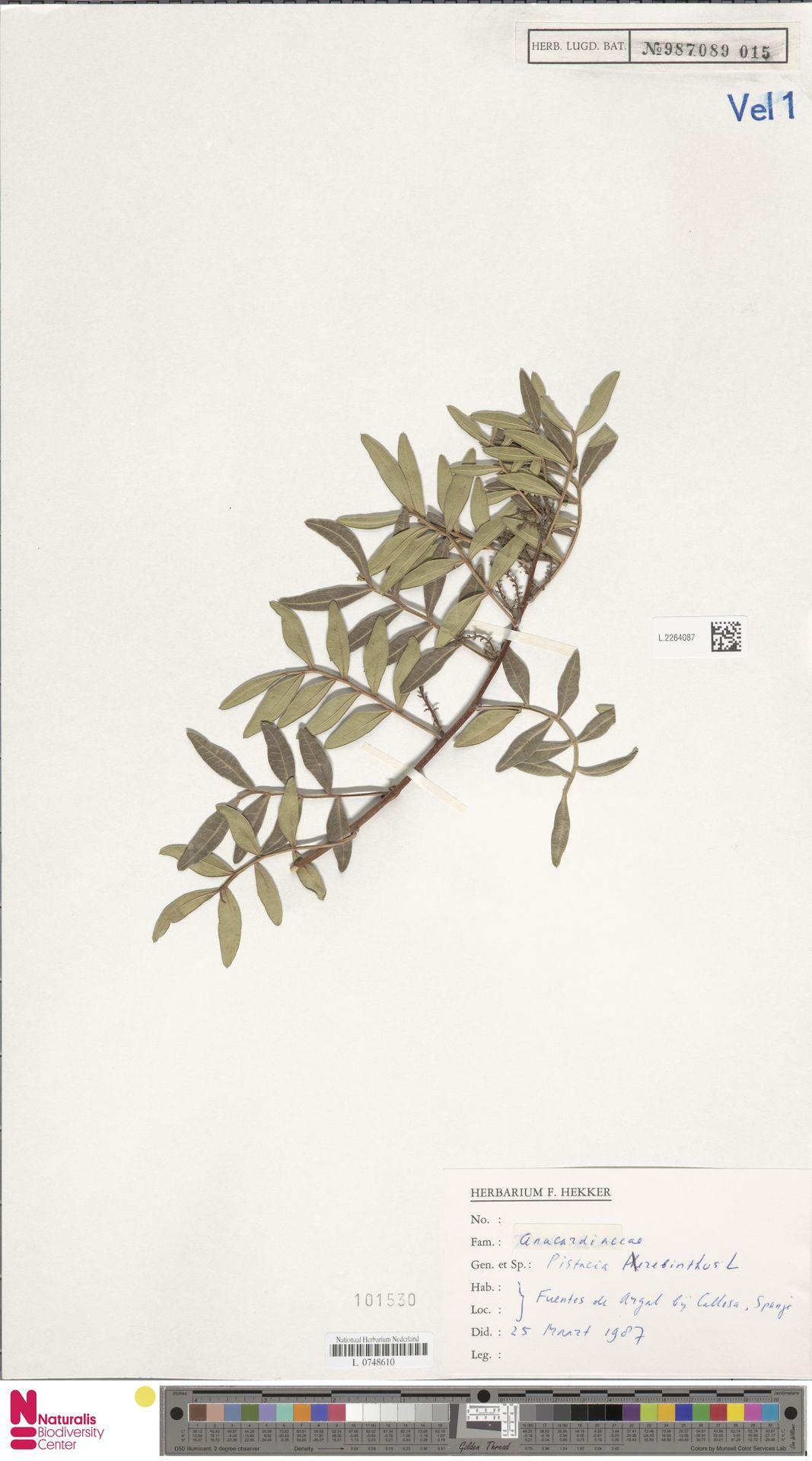 L.2264087 | Pistacia terebinthus L.