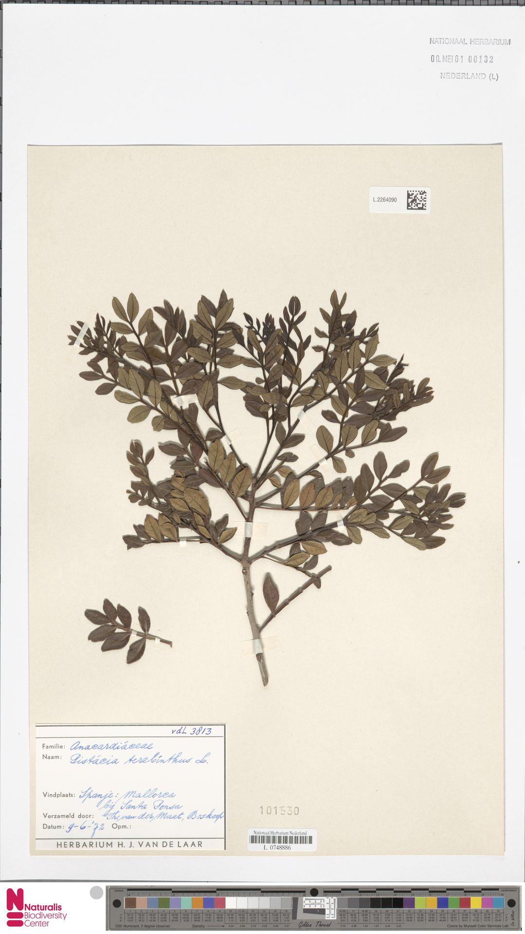 L.2264090 | Pistacia terebinthus L.