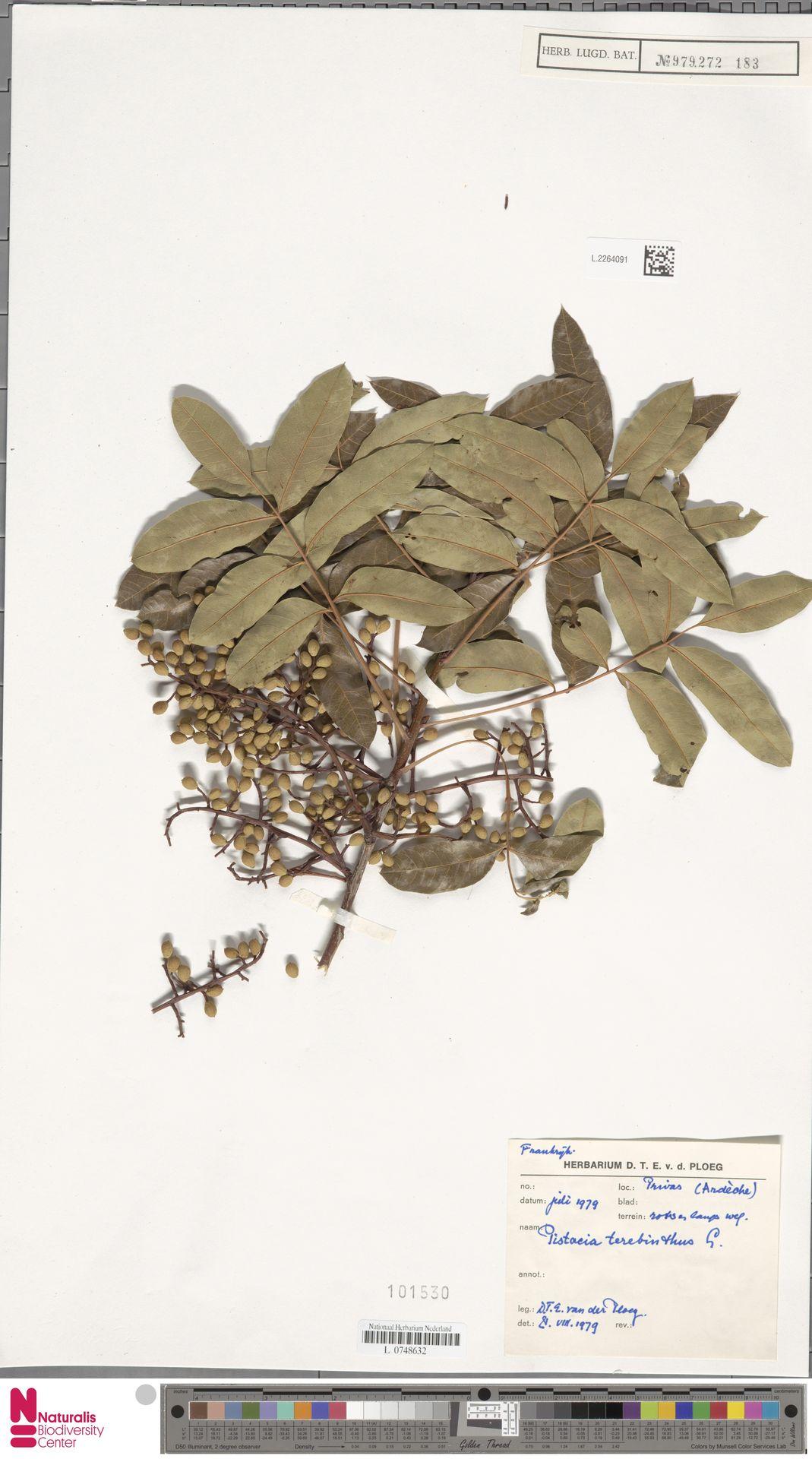 L.2264091   Pistacia terebinthus L.
