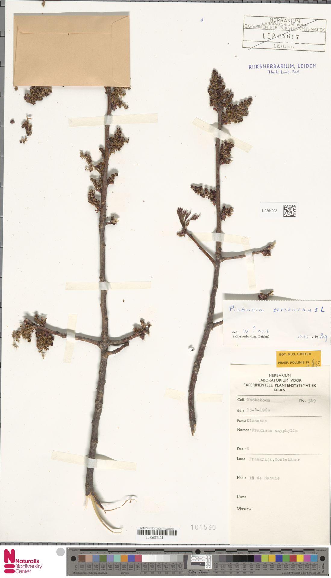 L.2264092 | Pistacia terebinthus L.