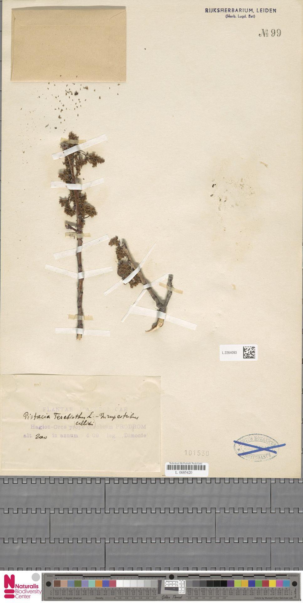 L.2264093 | Pistacia terebinthus L.