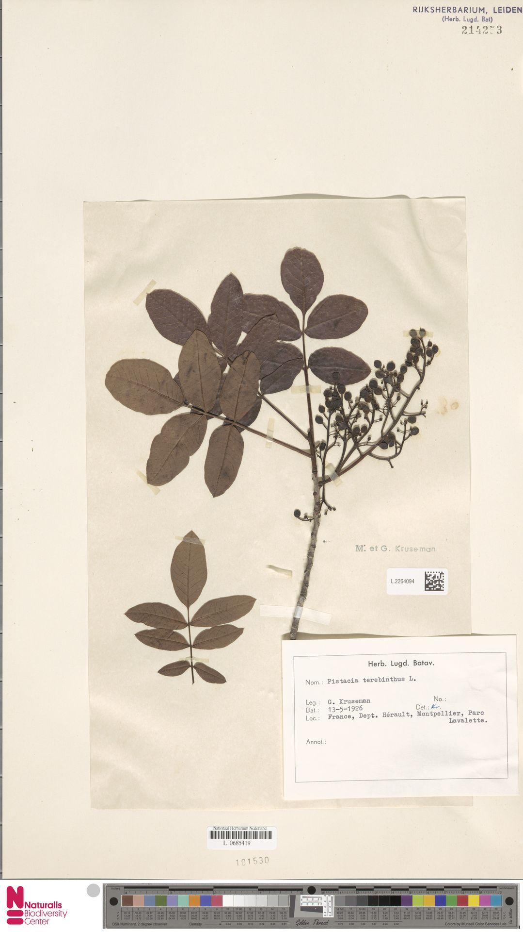L.2264094 | Pistacia terebinthus L.