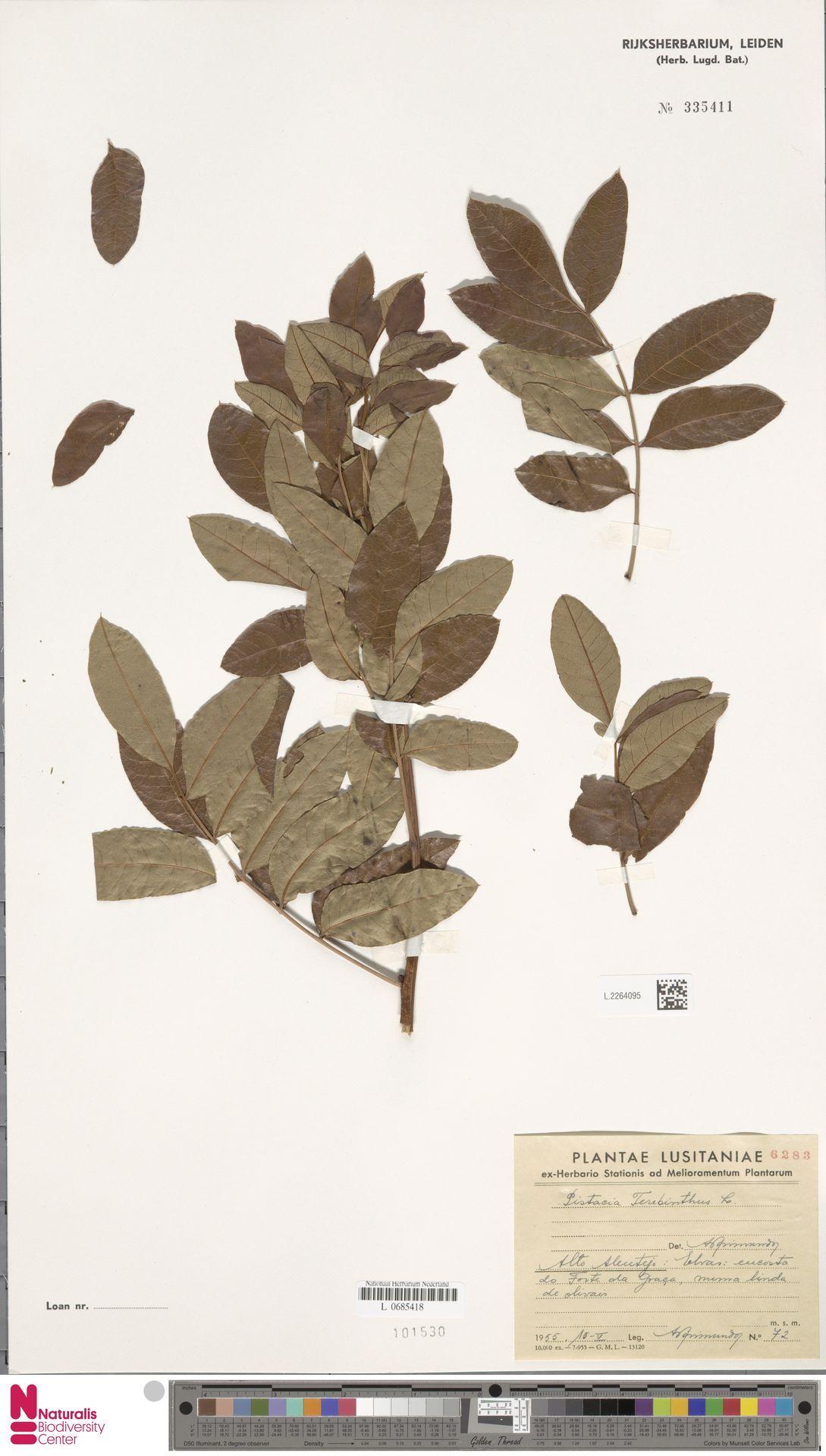 L.2264095 | Pistacia terebinthus L.