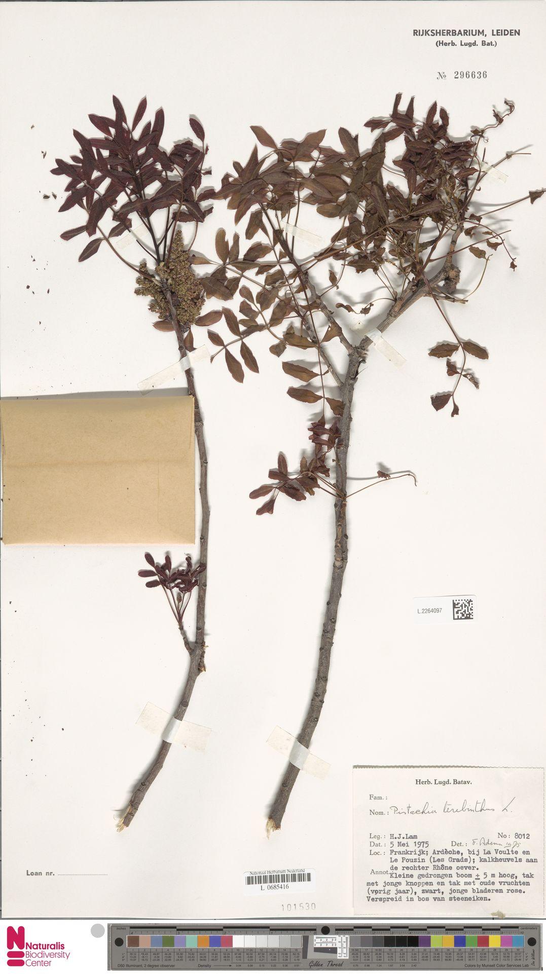 L.2264097 | Pistacia terebinthus L.