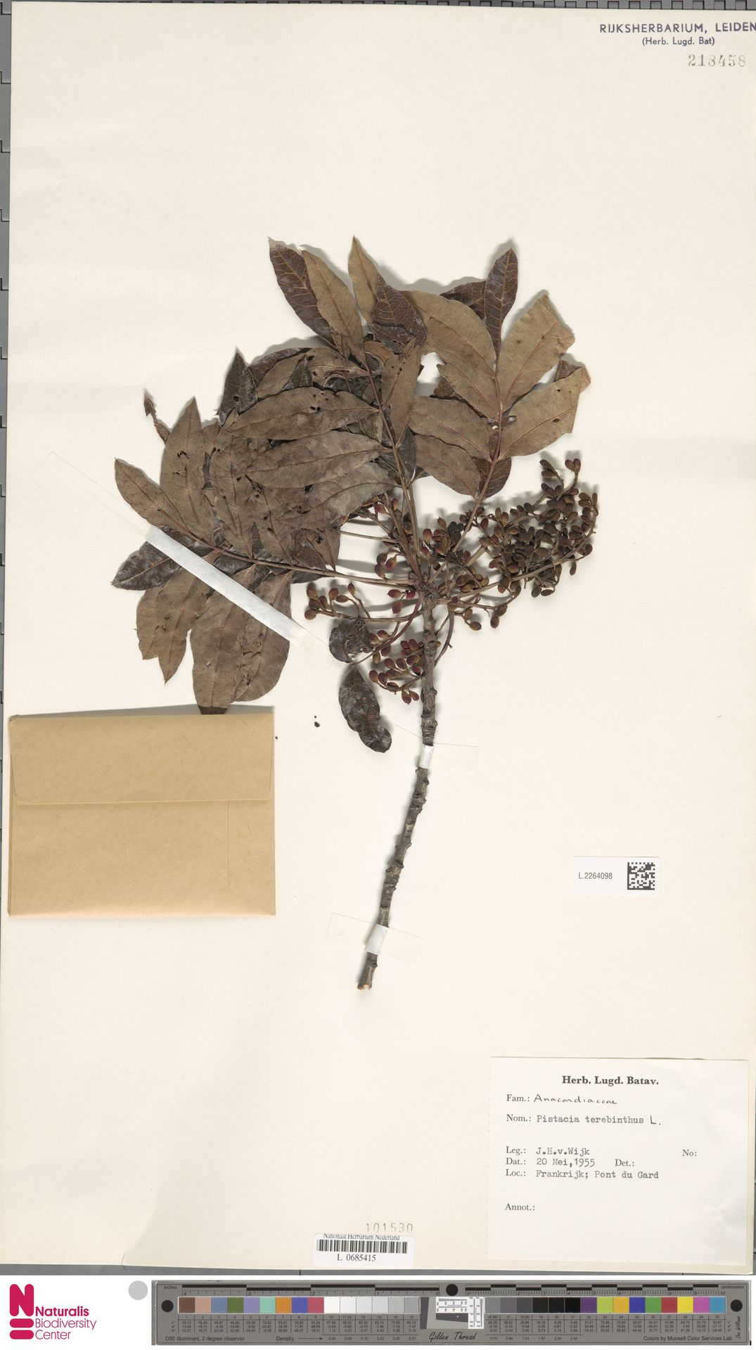 L.2264098 | Pistacia terebinthus L.