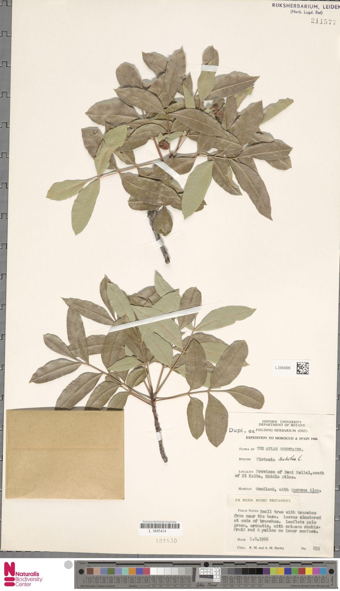 L.2264099 | Pistacia terebinthus L.