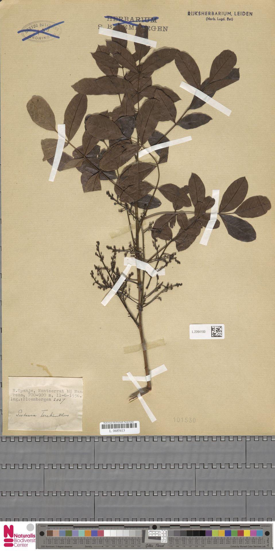 L.2264100 | Pistacia terebinthus L.