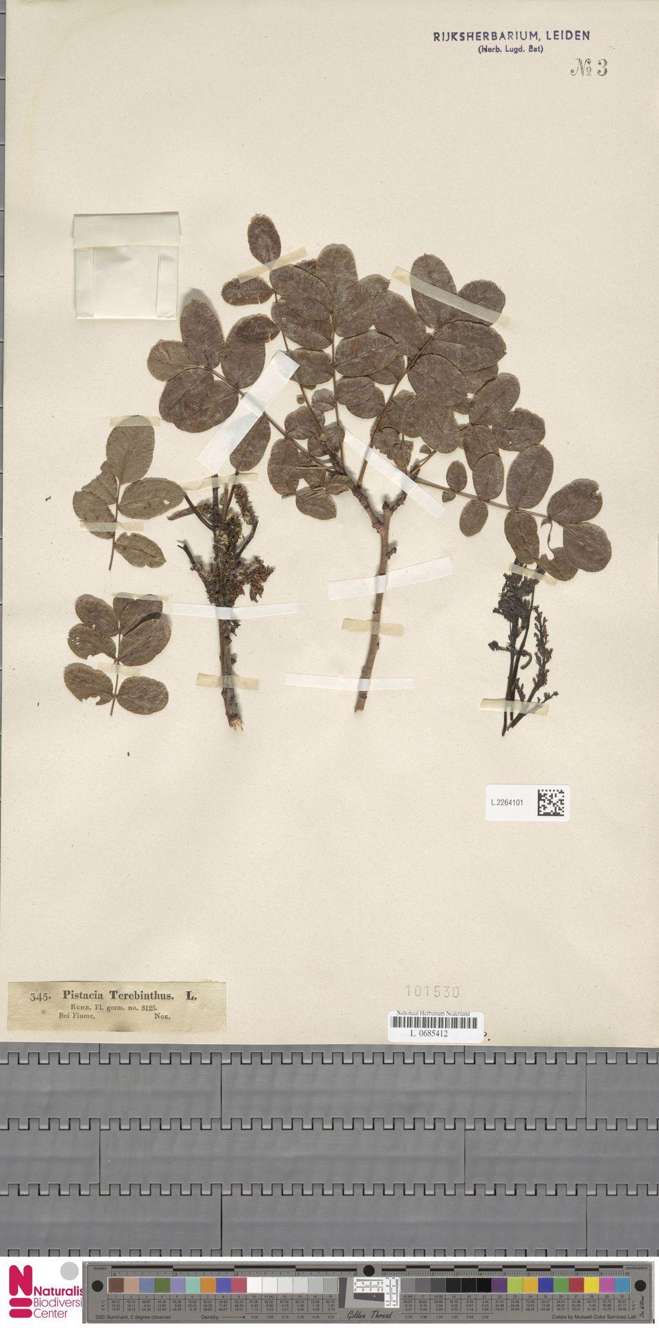L.2264101 | Pistacia terebinthus L.