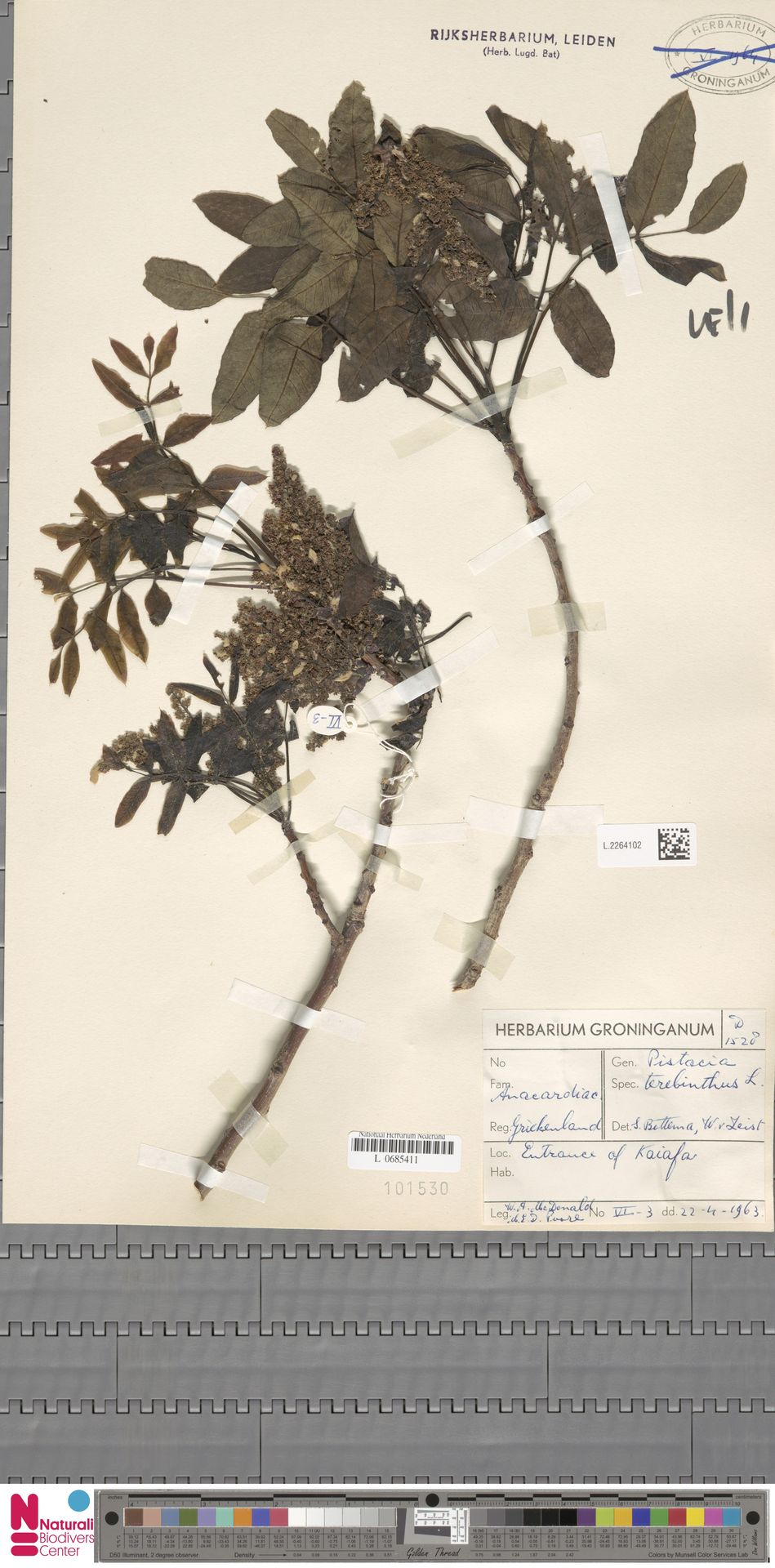 L.2264102   Pistacia terebinthus L.