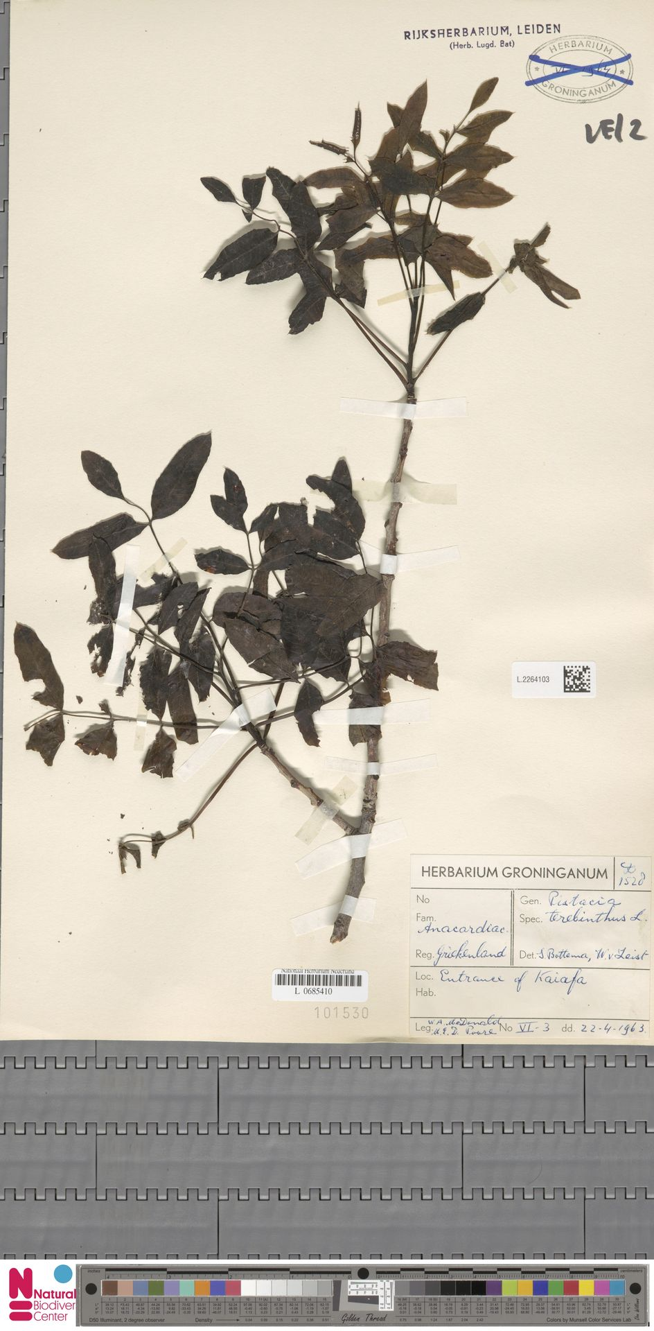 L.2264103 | Pistacia terebinthus L.