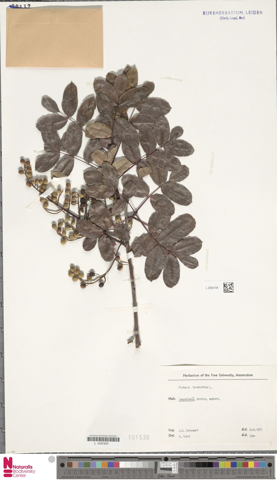 L.2264104 | Pistacia terebinthus L.